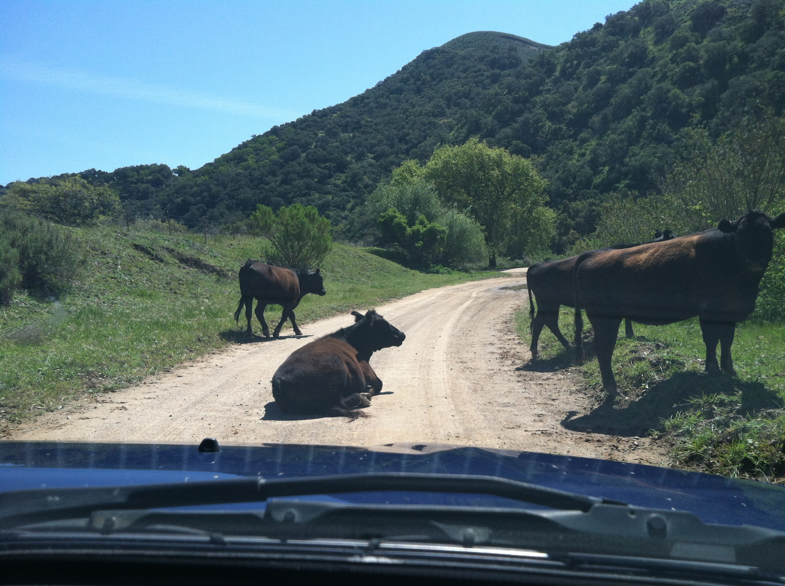 Four cows blocking a dirt road