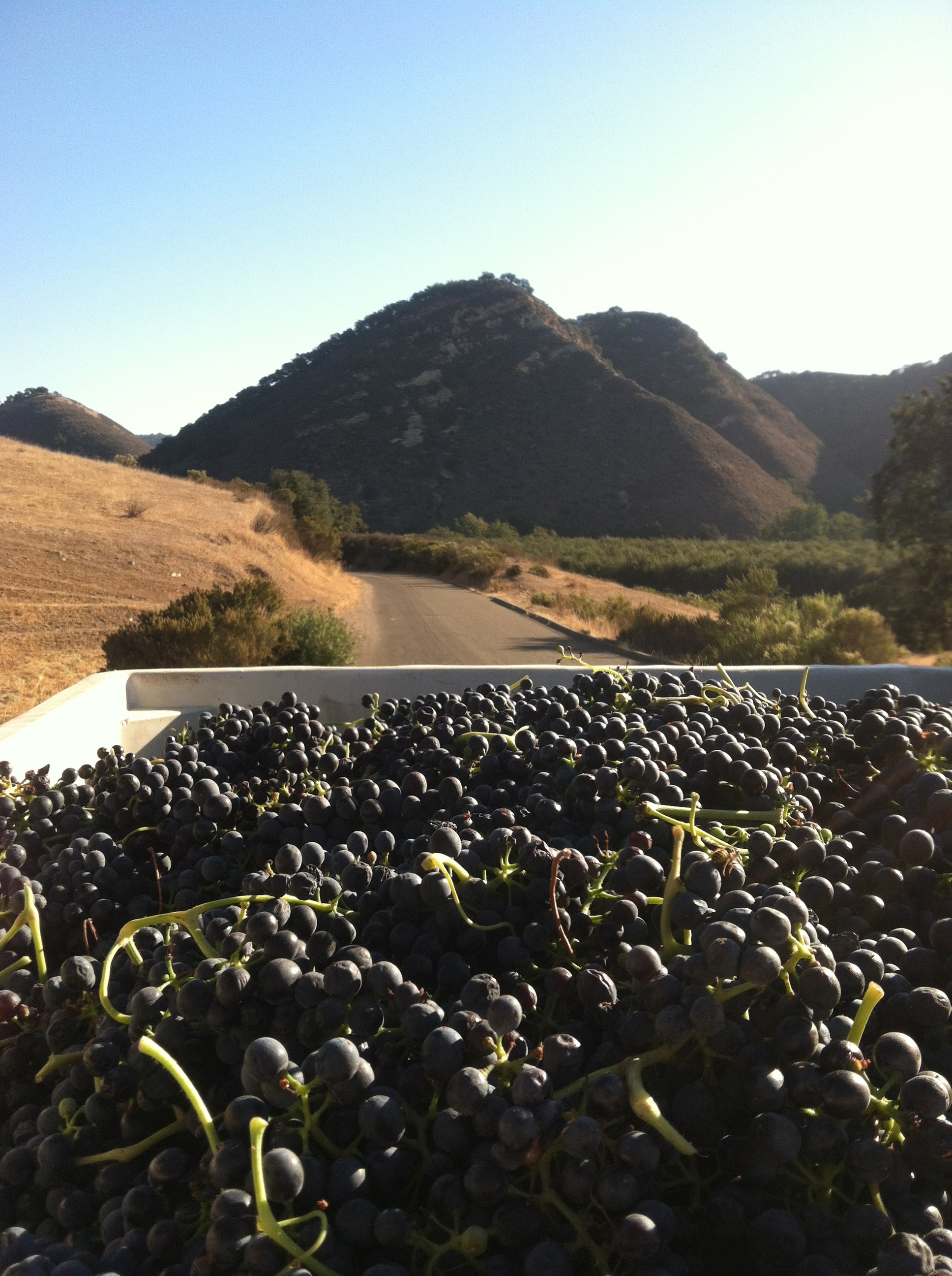 Just-picked Syrah grapes in vineyard