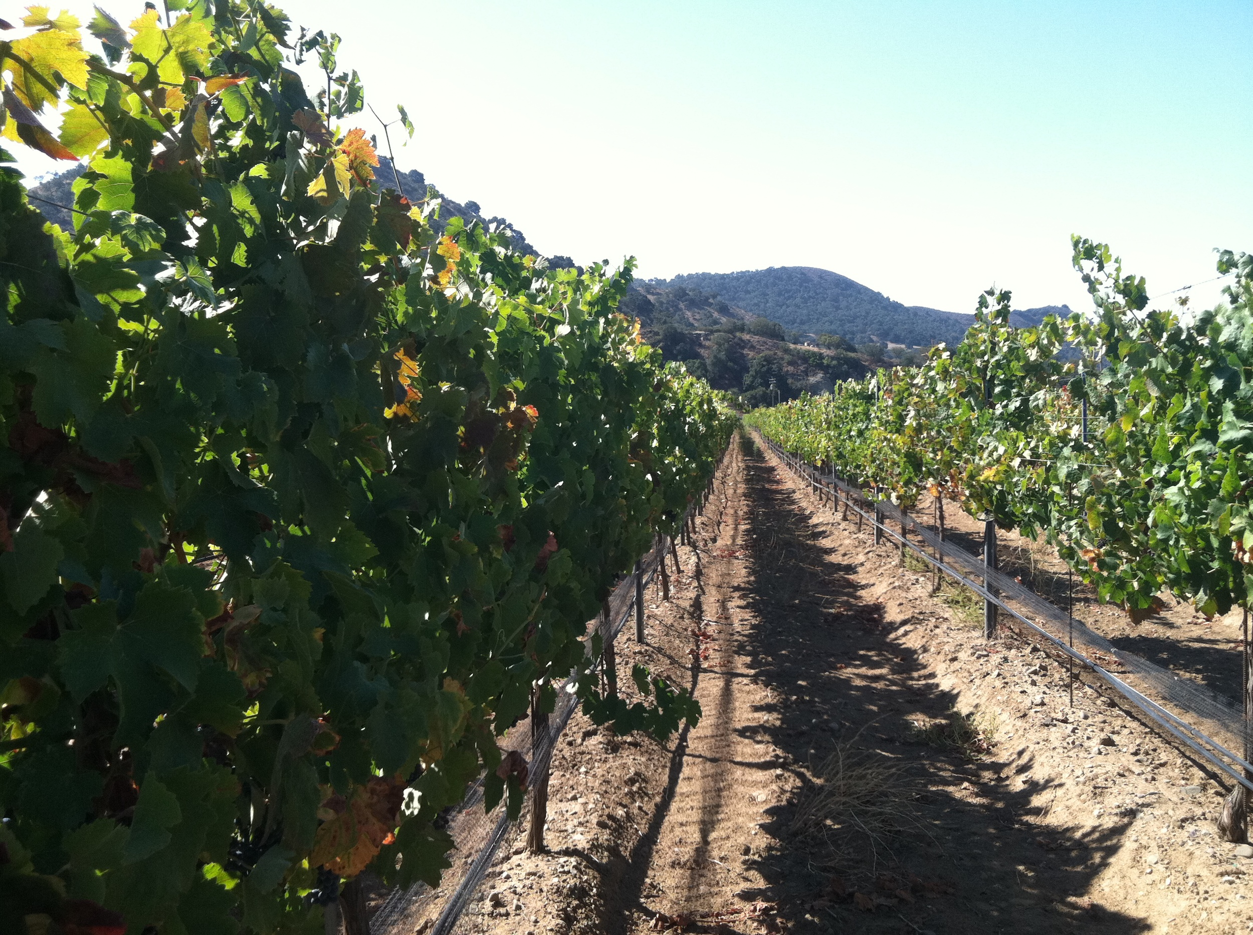 Syrah vines with mountain behind