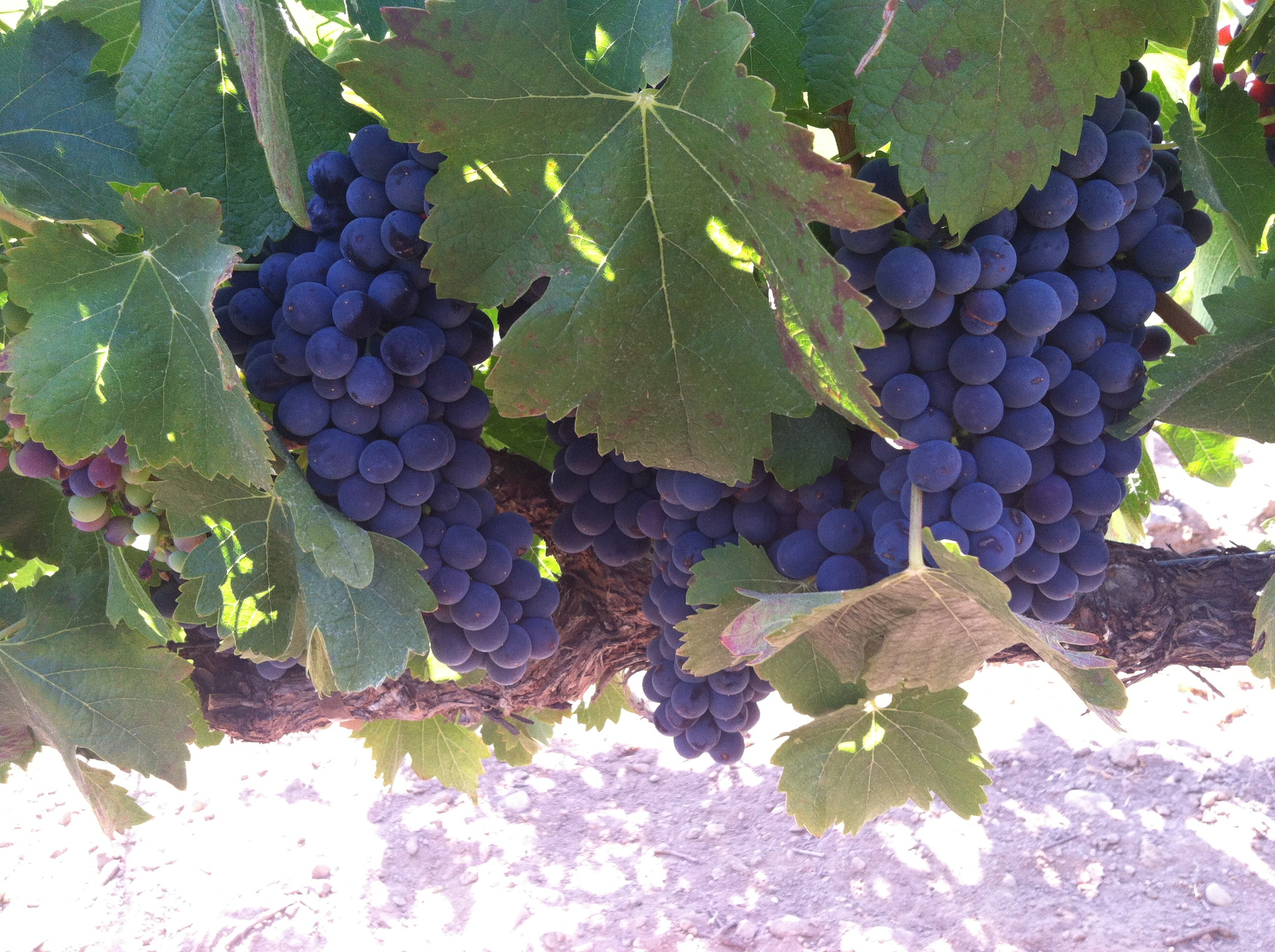 Ripe Syrah grapes