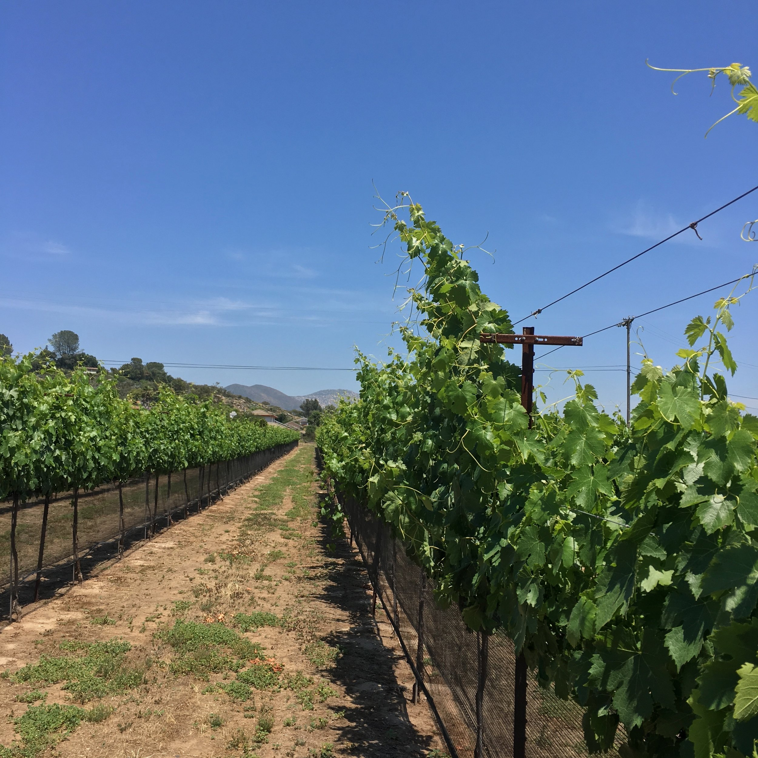Long row of Cinsault vines