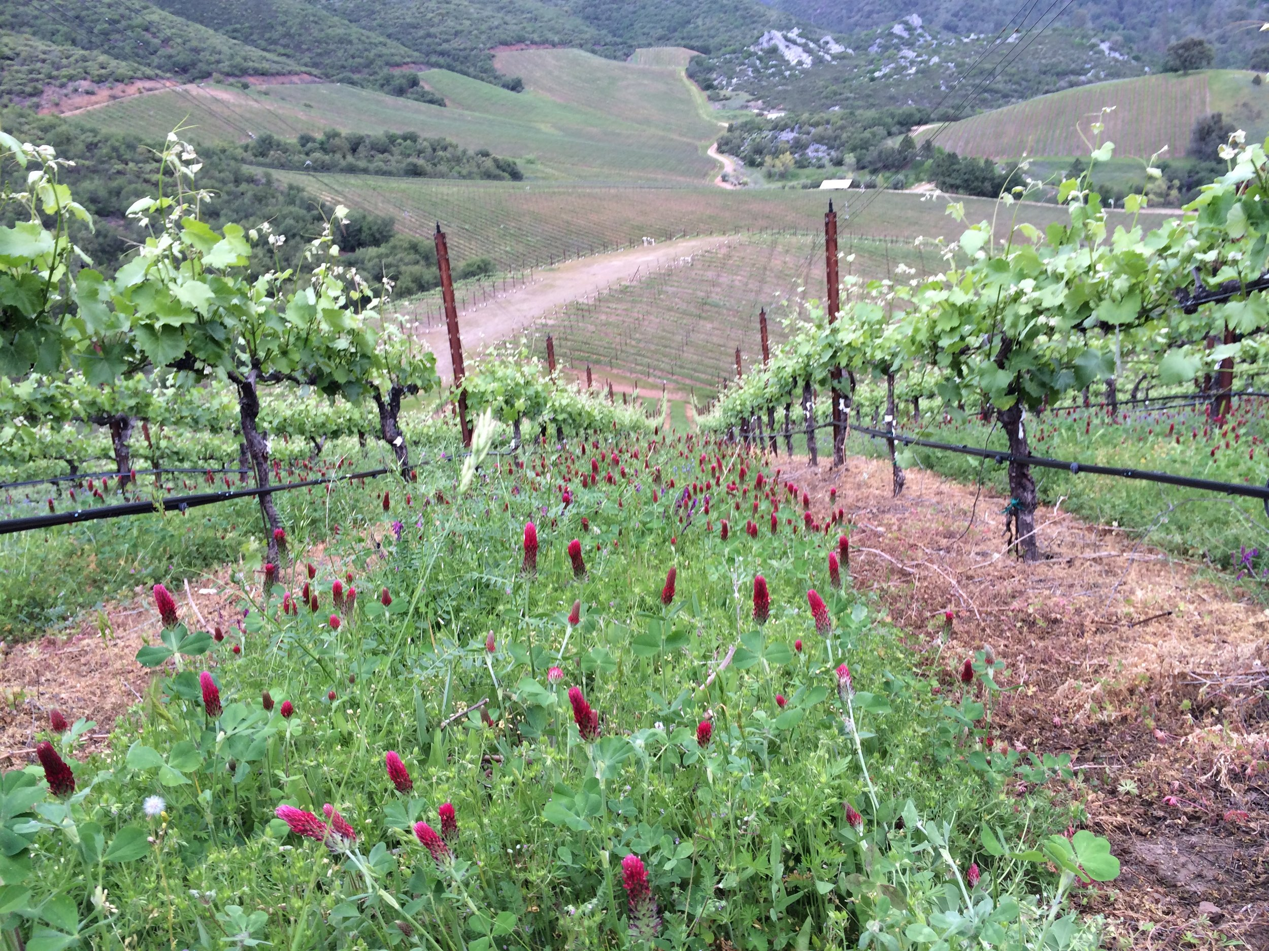 Steep row of vines with cover crop