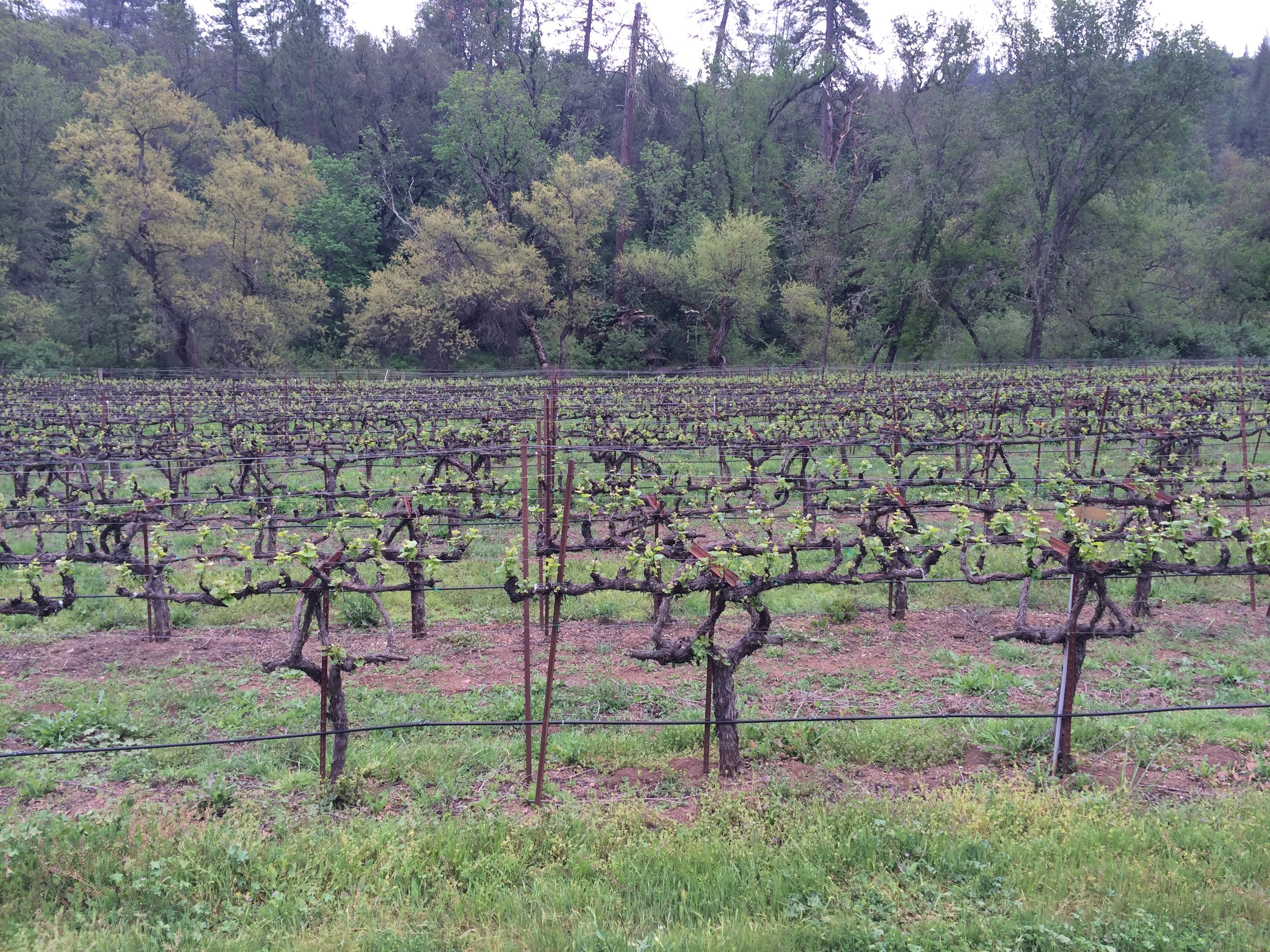 Chardonnay vines with trees behind