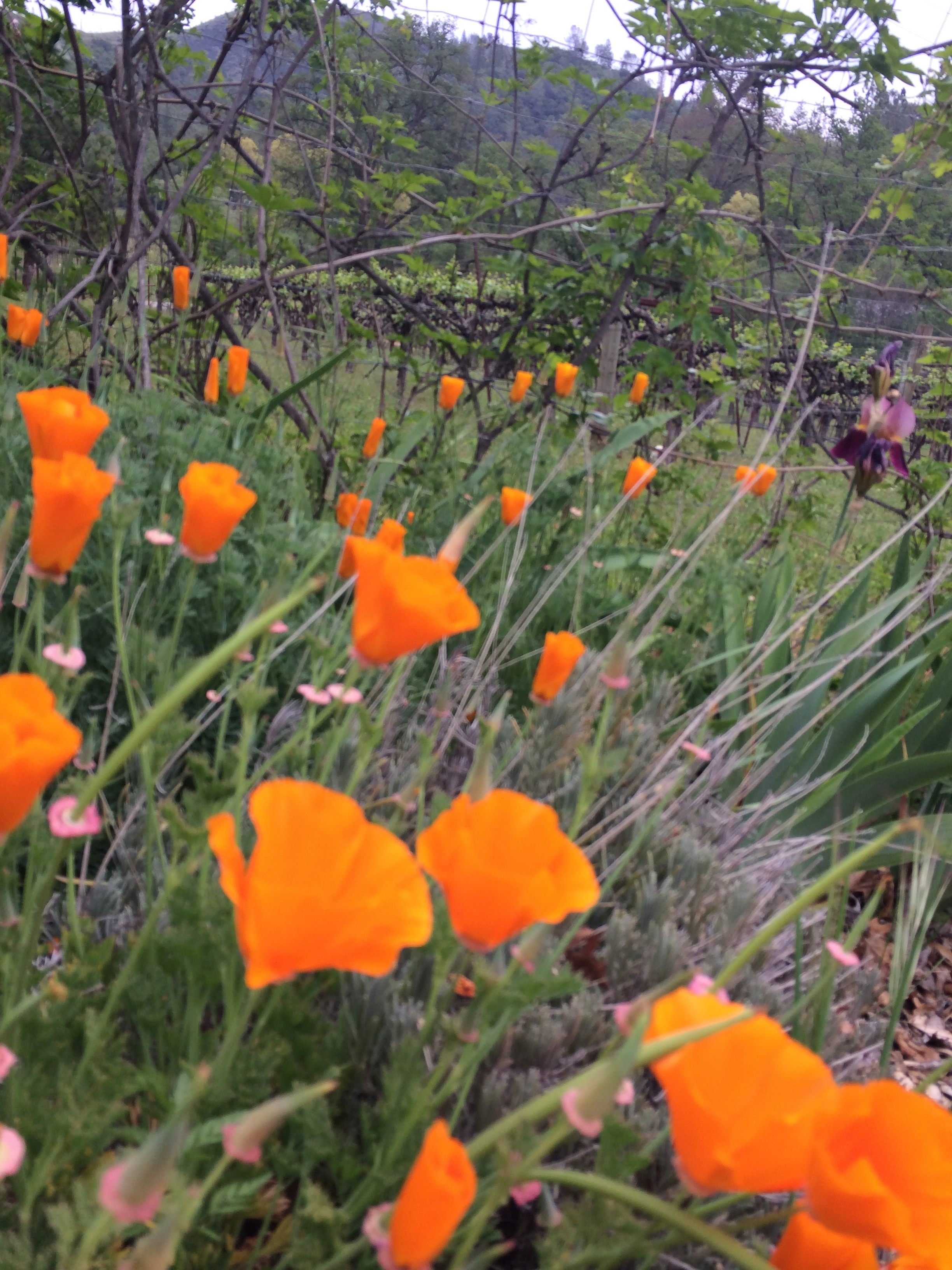 California poppies in vineyard