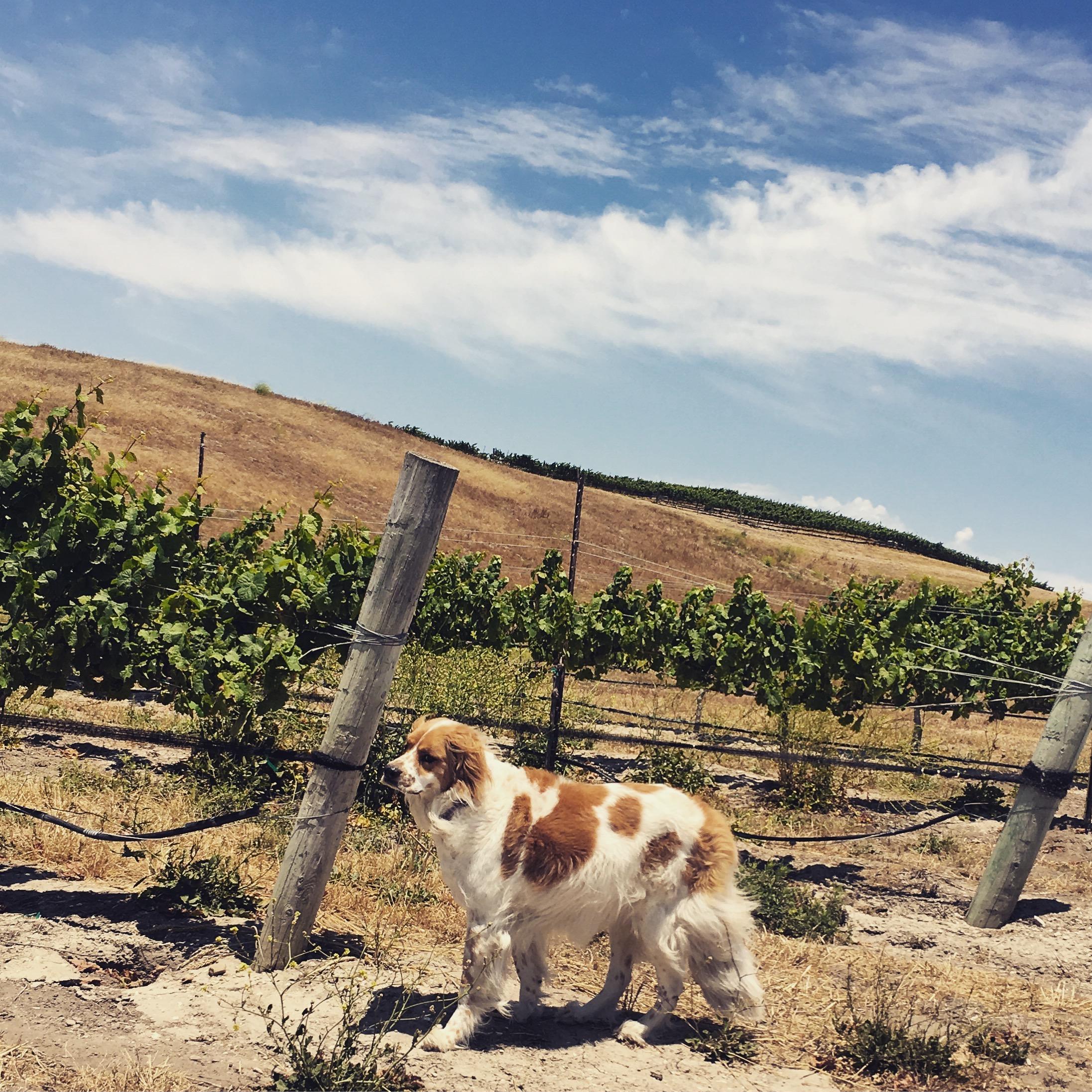 Winery dog Iris in vineyard