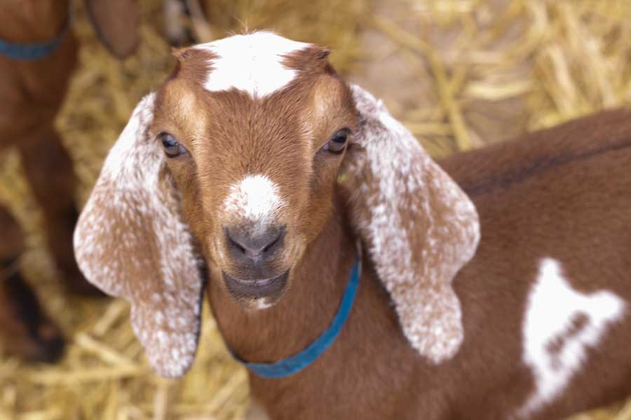 Baby goat from Prairie Fruits Farm and Creamery