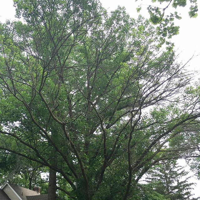 This one bums me out. This tree is an uncommon simple-leaf ash, Fraxinus excelsior. It is around the block from my house. It looked fine last year and I tried to talk to the homeowner about preserving it, but they weren't interested. And now it's too late.😕