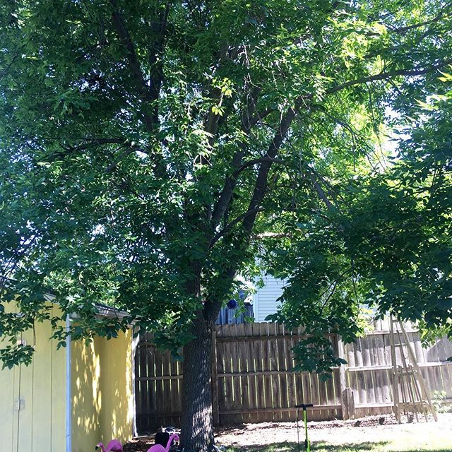 An ash worth saving in North Liberty. Not too big, not too small, just right.