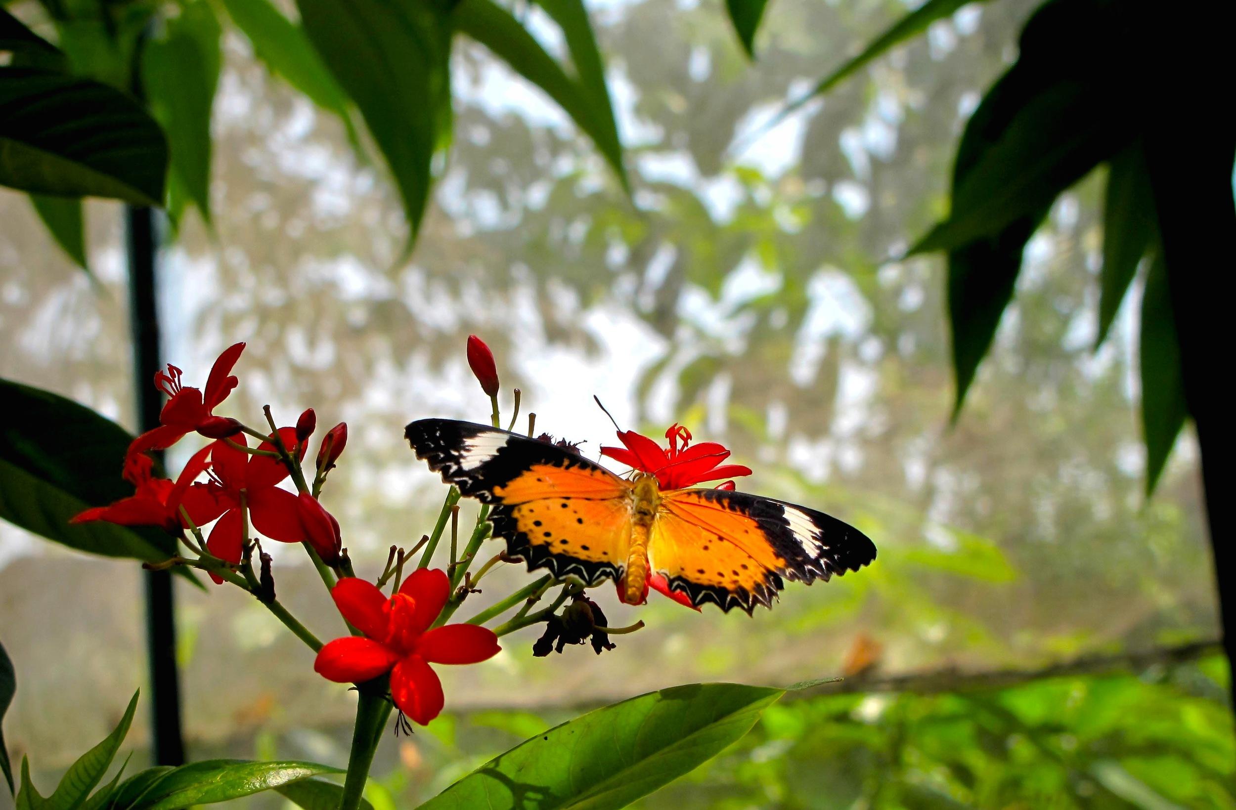 Butterfly in Mae Rim