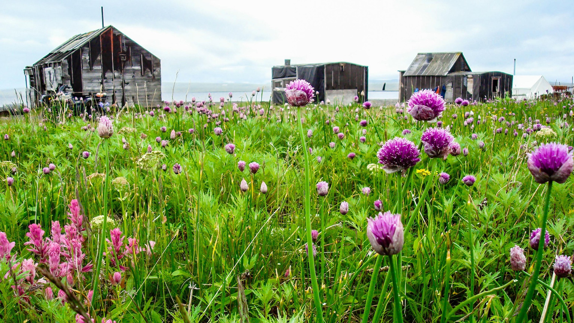 Alaska - Bering Sea Fish Camp and Onions.jpg