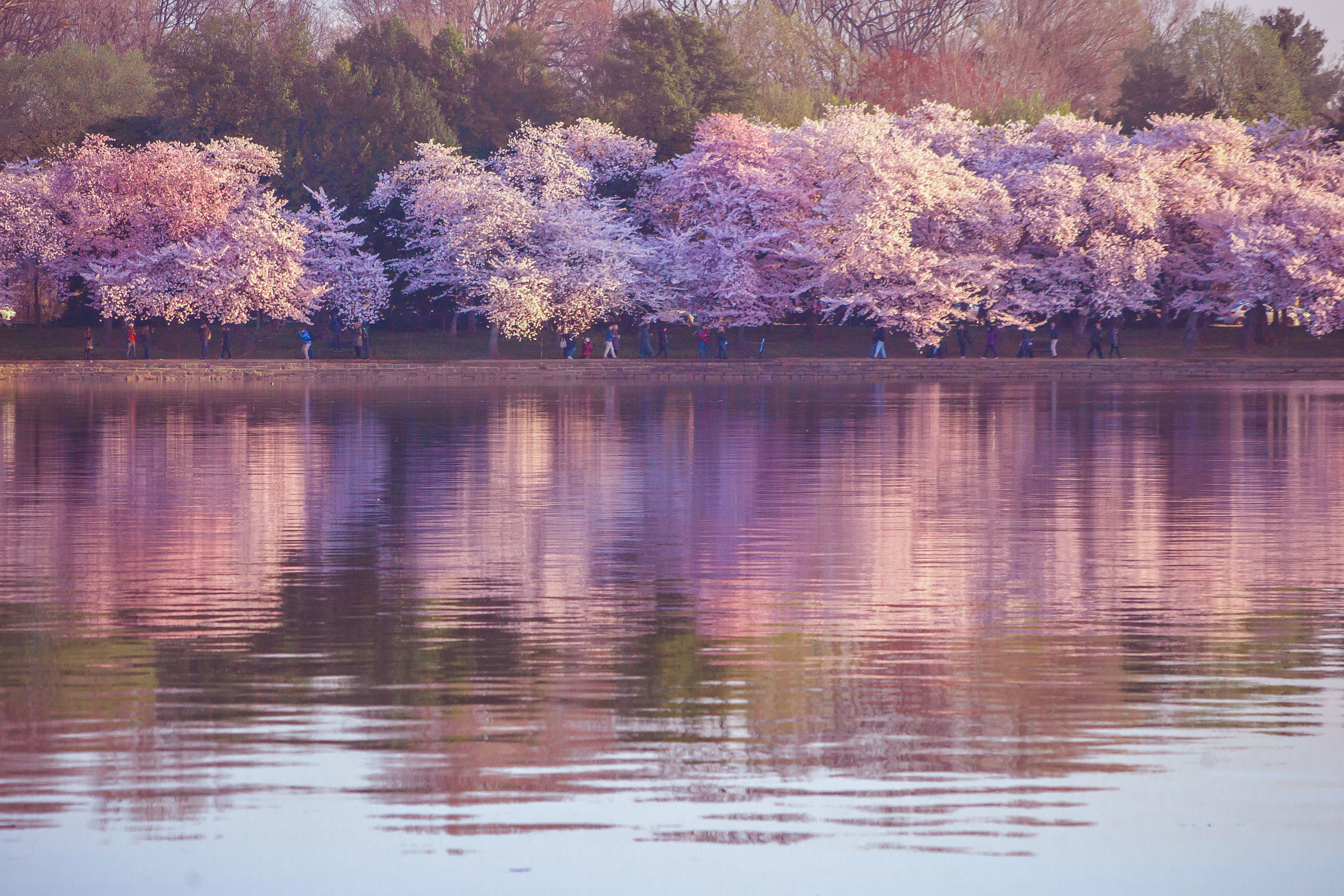 Cherry Blossoms DC 2019 - 013.jpg