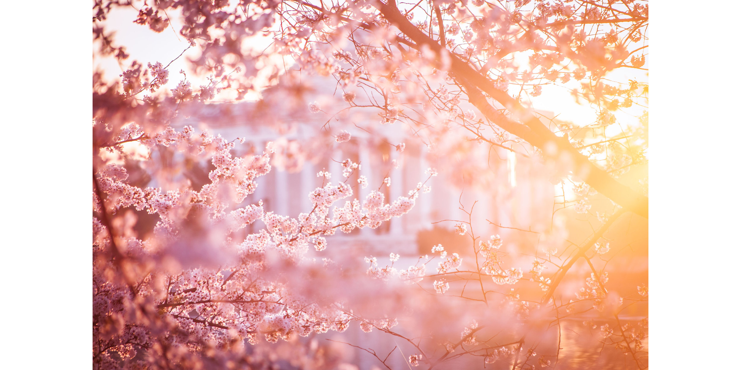 Cherry Blossoms DC 2019 - 002.jpg