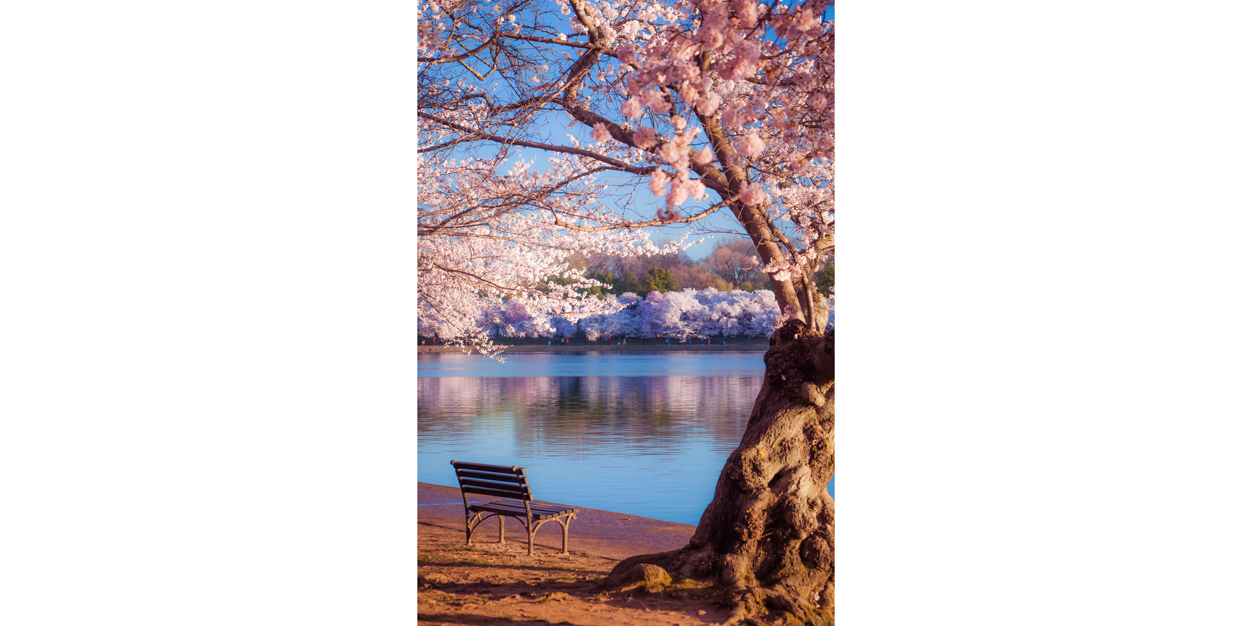 Cherry Blossoms DC 2019 - 005.jpg