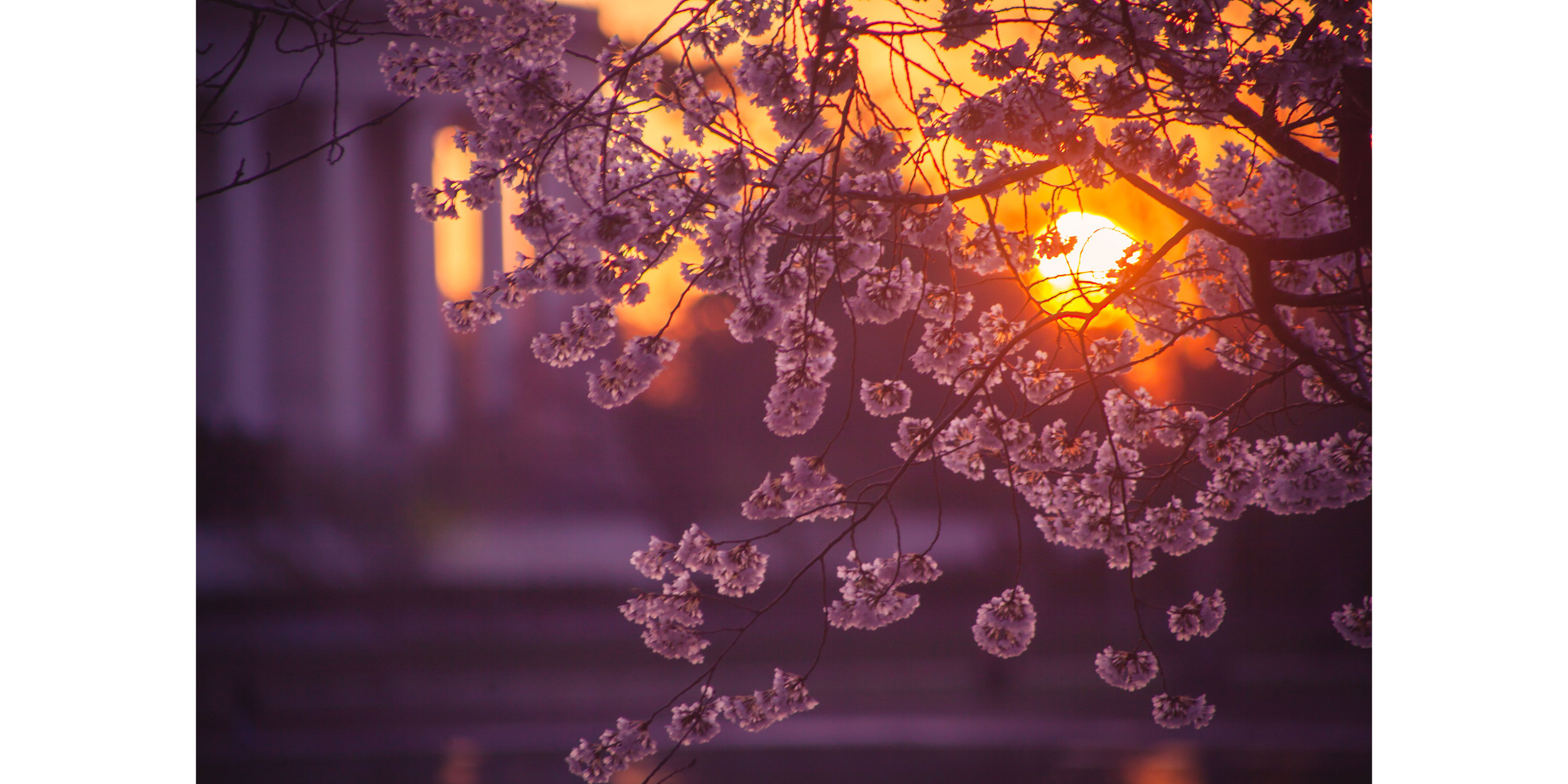 Cherry Blossoms DC 2019 - 007.jpg