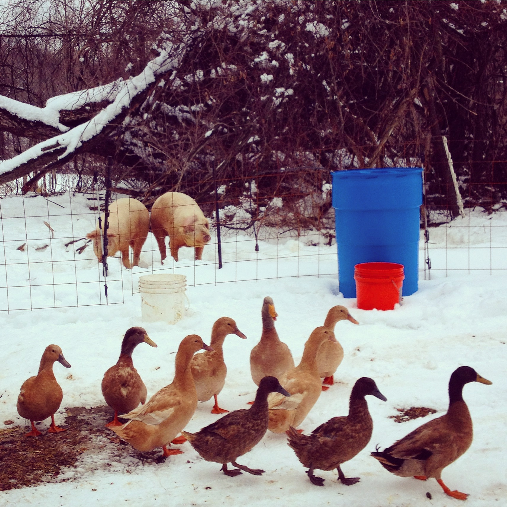 the ducks like to visit the pigs!