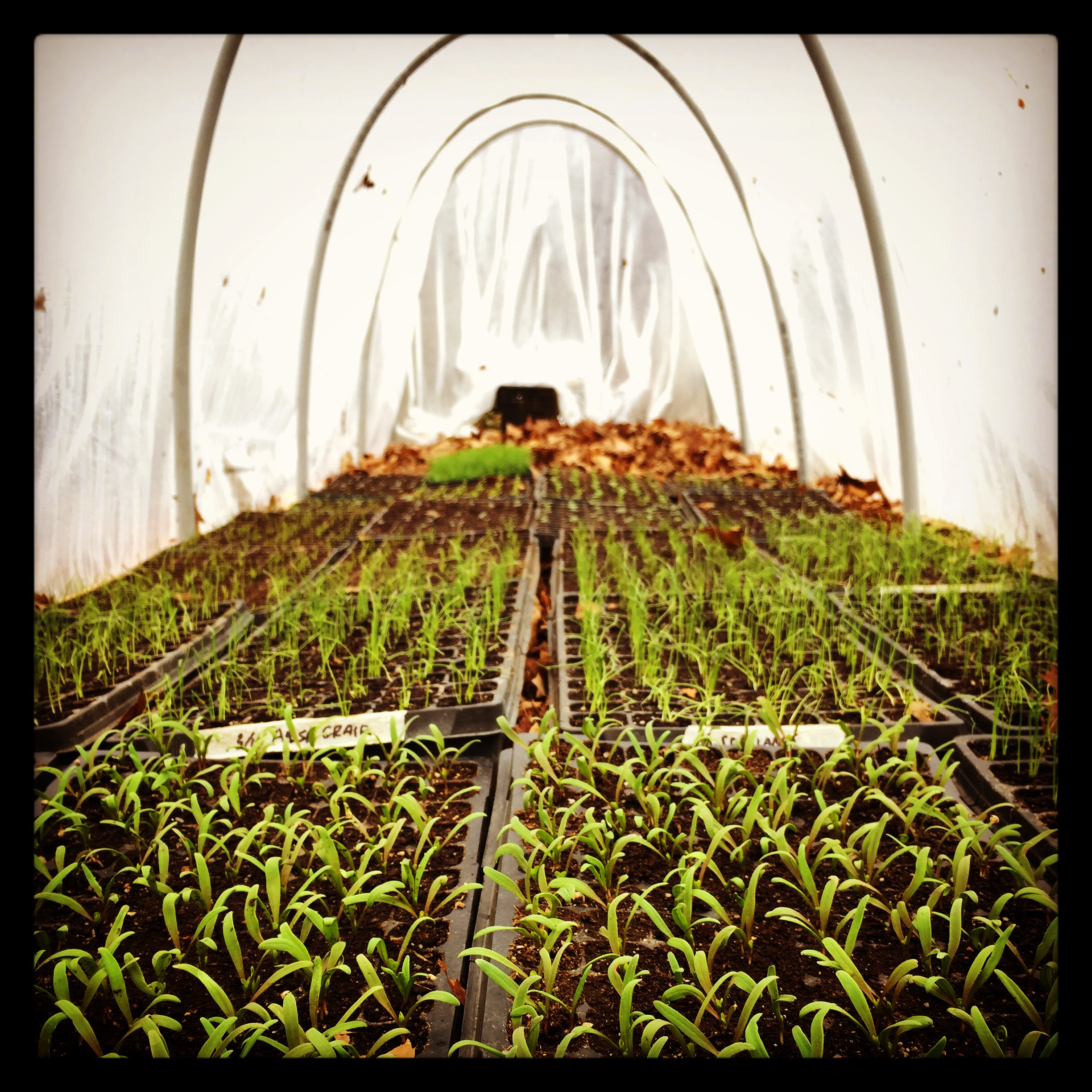 seedlings in the low tunnel