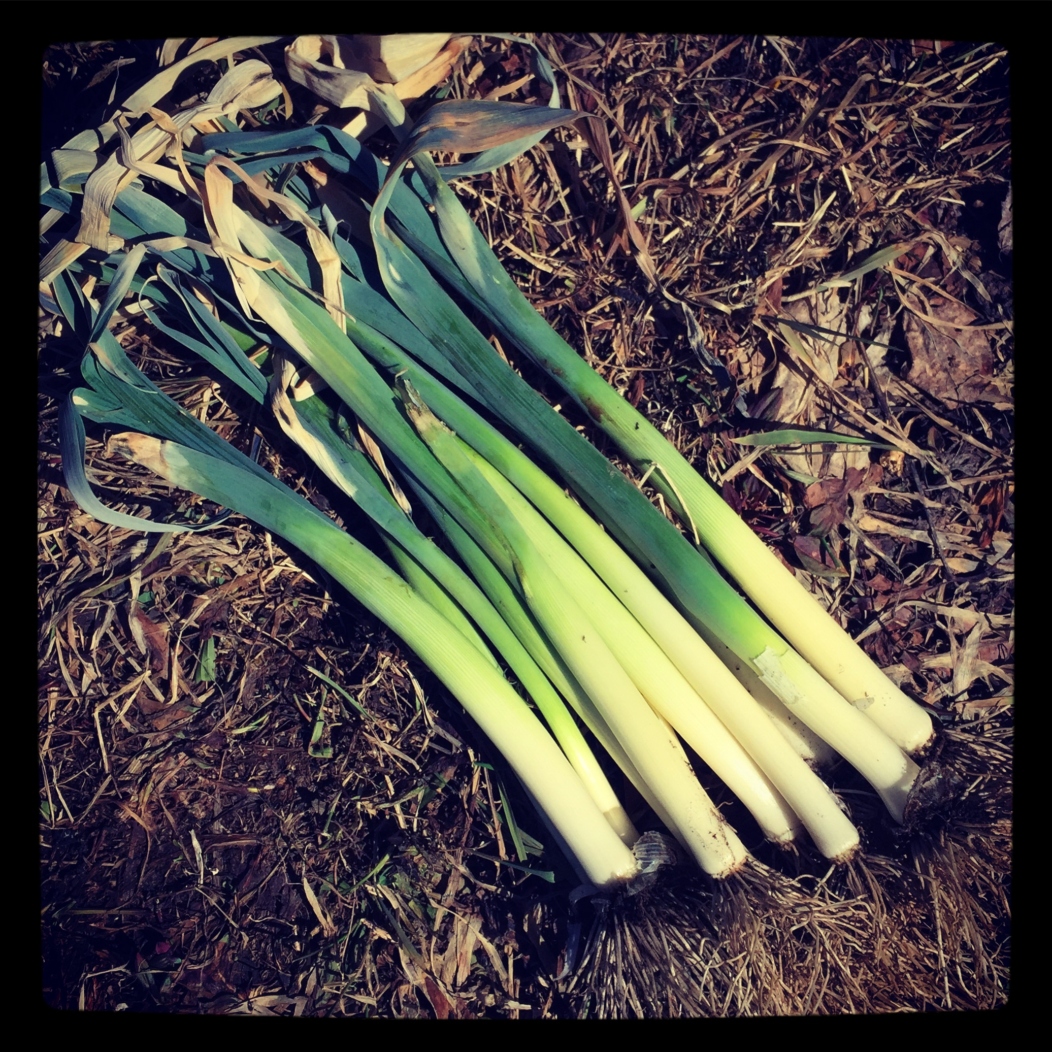 Overwintered leeks that are so sweet!