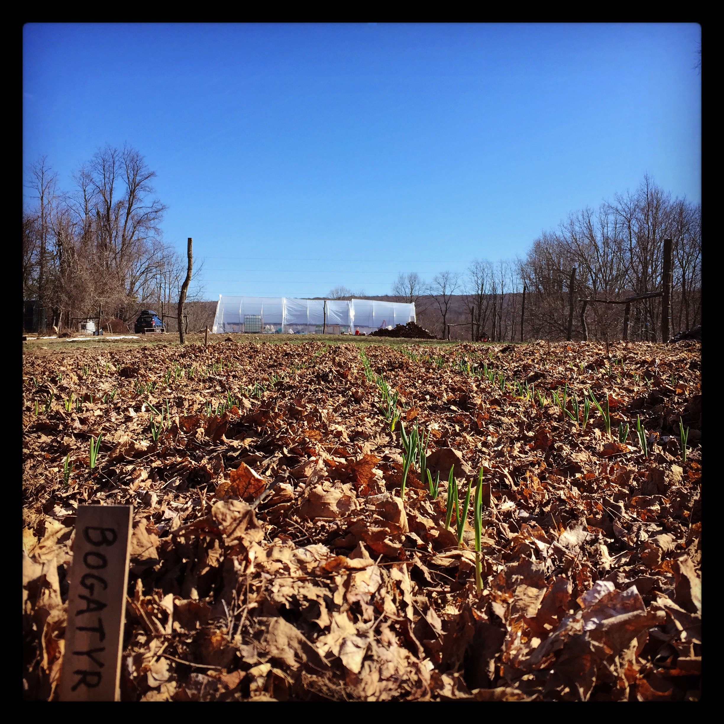 The garlic is up! Bogatyr is a hardneck full-flavored variety originating in Russia.
