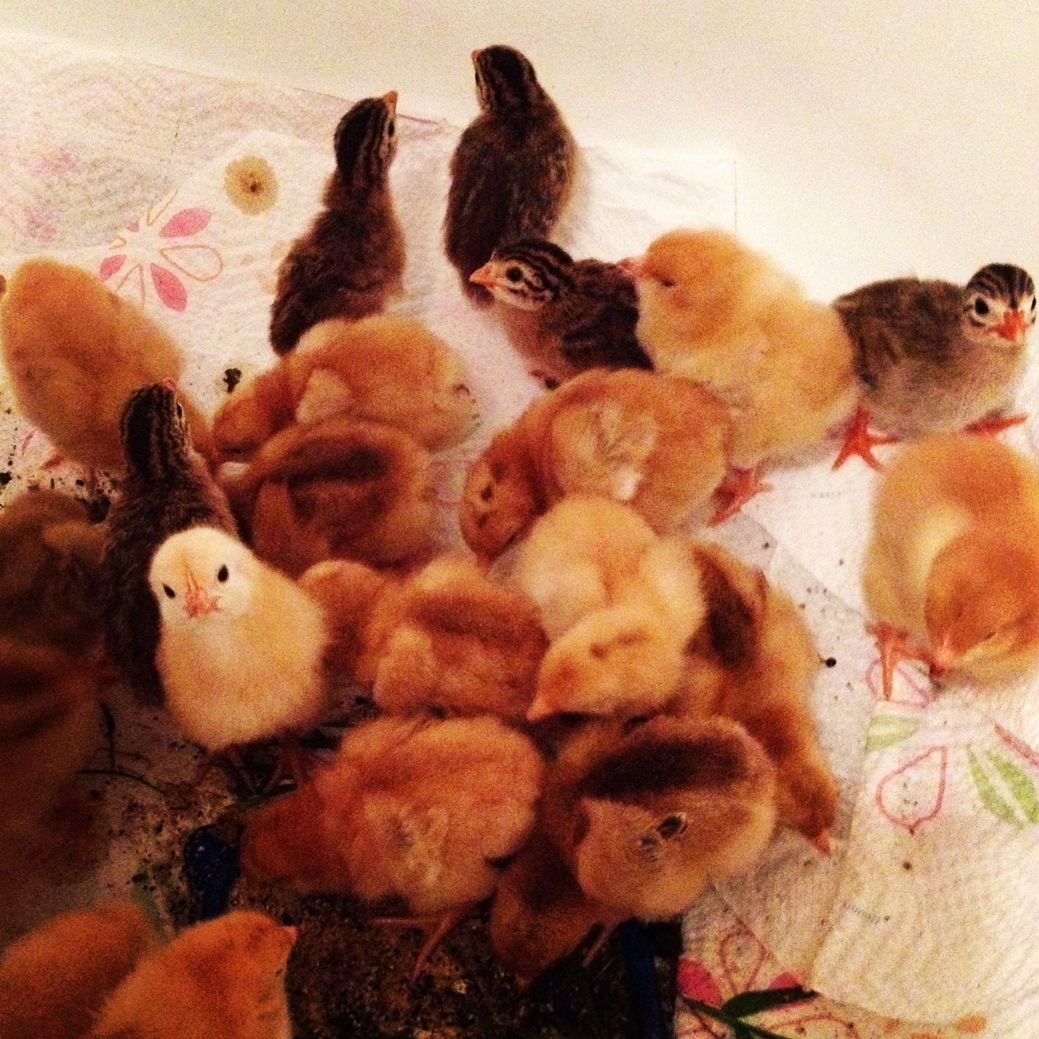 Chicks! Freedom Rangers & Guinea Keets