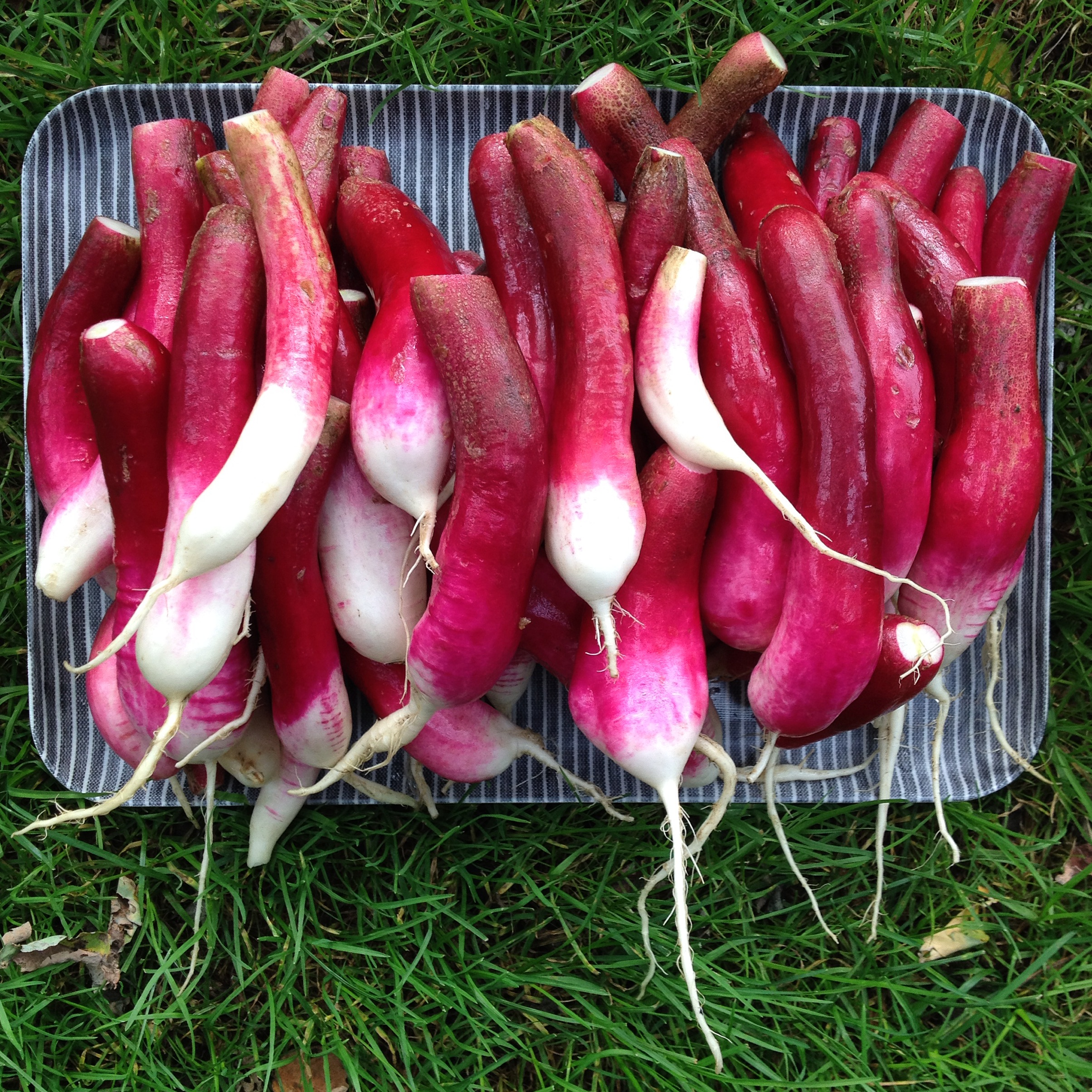 overgrown radishes ready for pickling