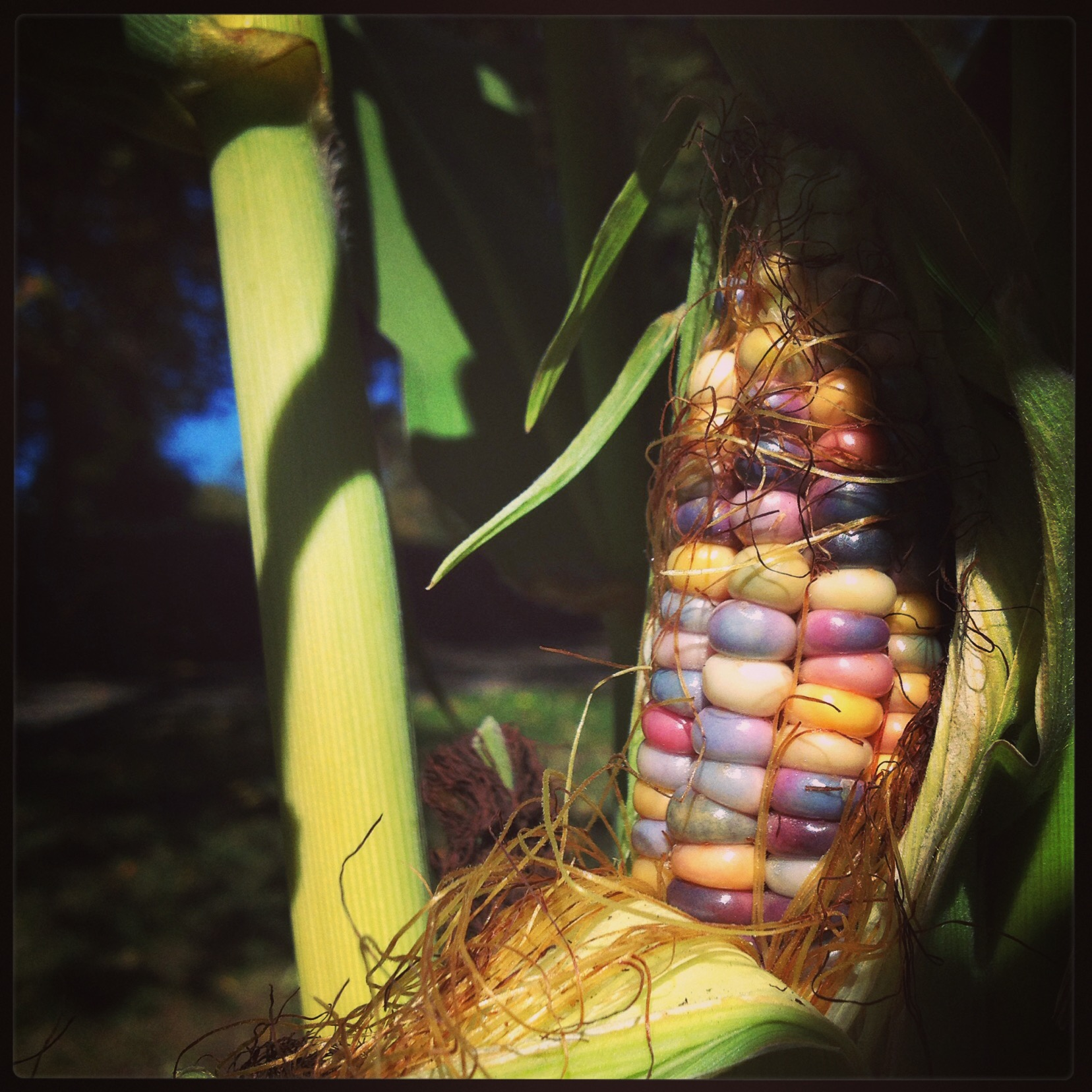 glass gem indian heirloom corn
