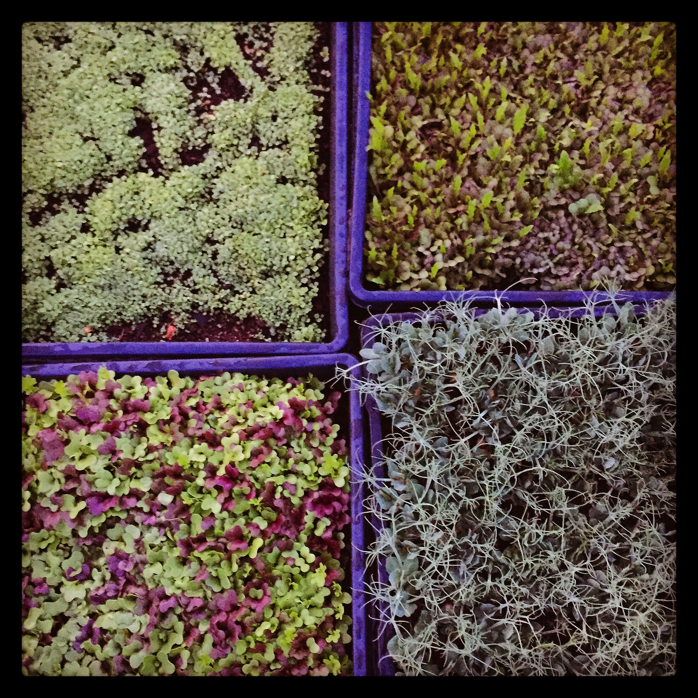 wasabi mustard mild mix sweet pea spicy mix microgreens