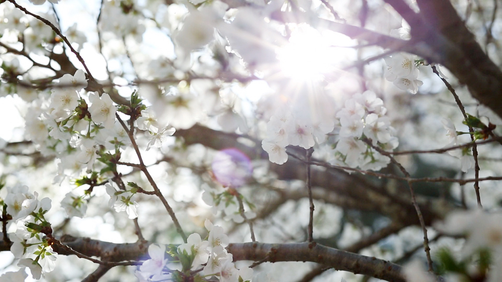 Backyard Cherry Tree, GA, 2014