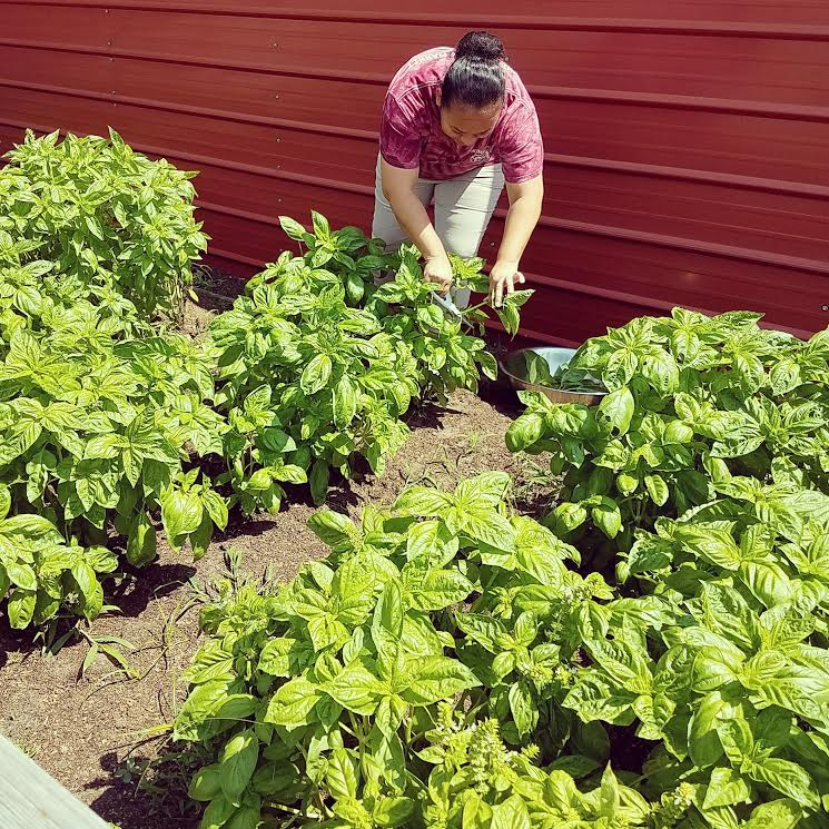 Fresh Basil being picked from Matt's garden for our Trademarked Tomato Cheese.