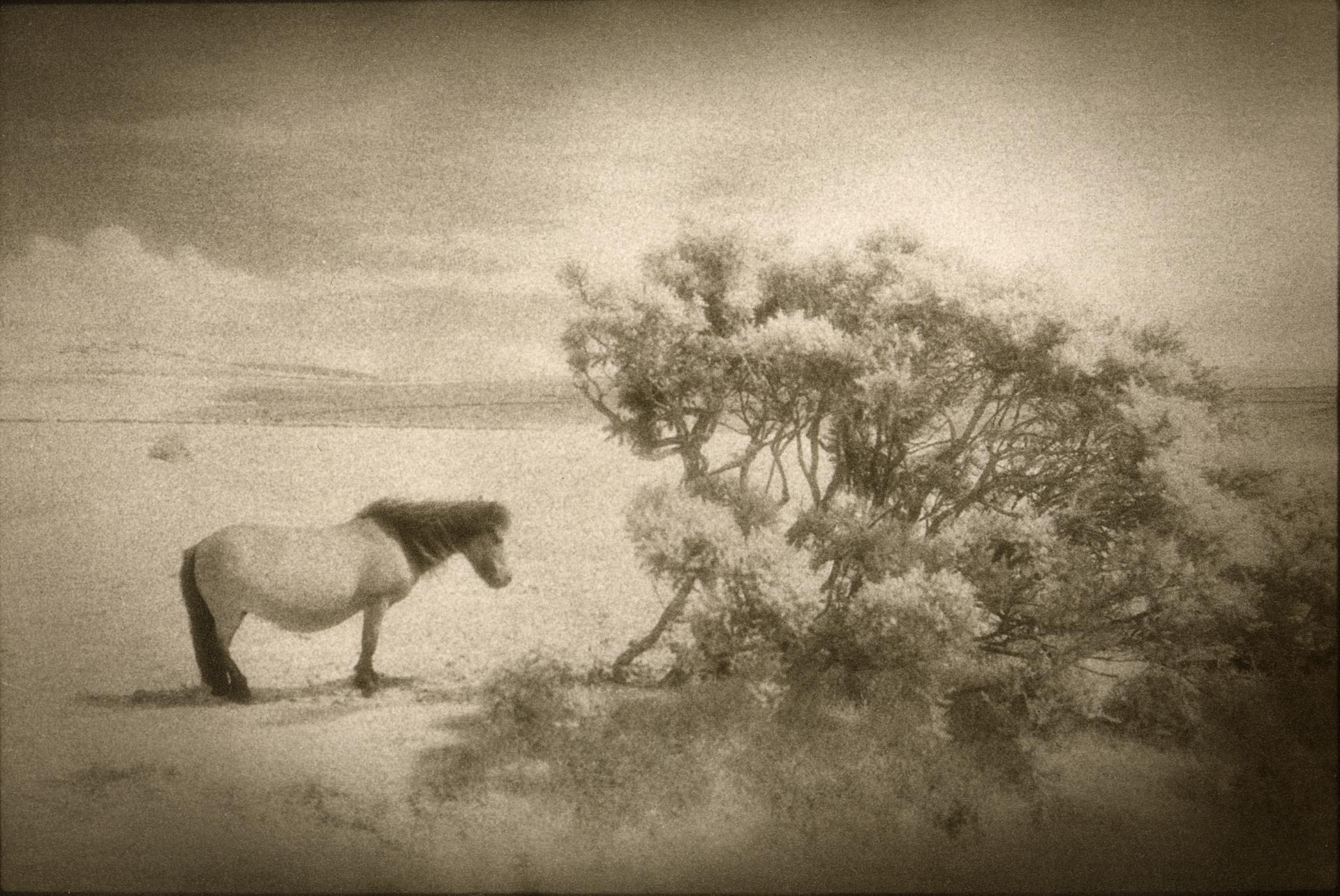 Dartmoor Pony