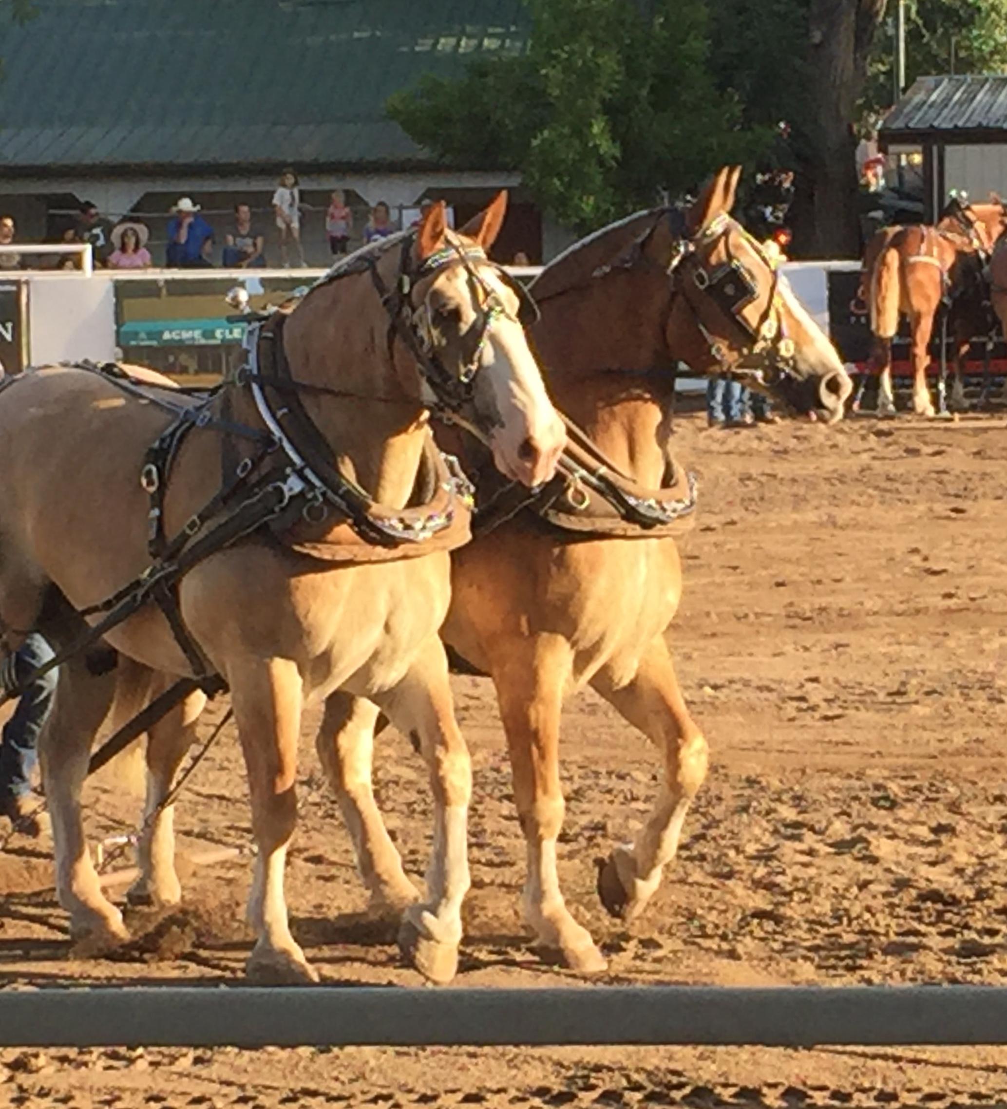 Draft Horses.jpg