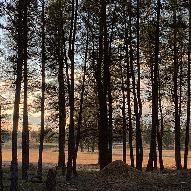 Sunset from the pines overlooking the pasture. #farmlife