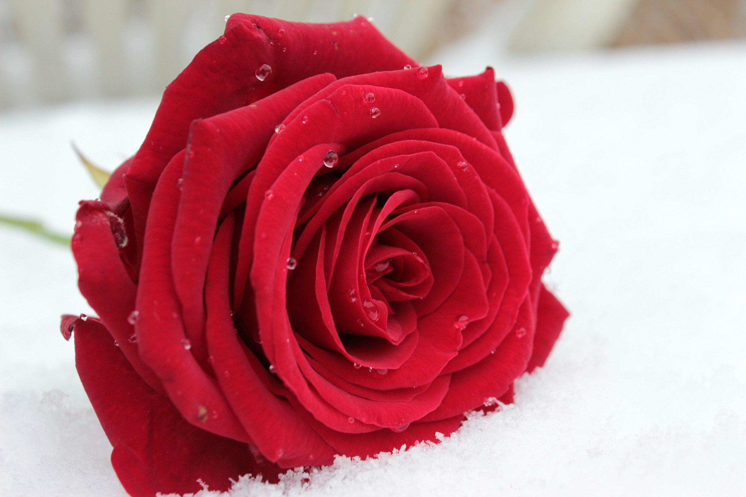 rose-1201291.jpg