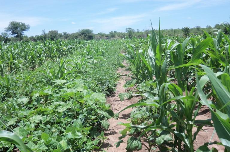 Figure 1:  Diversified farming in a field in Mtoko Zimbabwe
