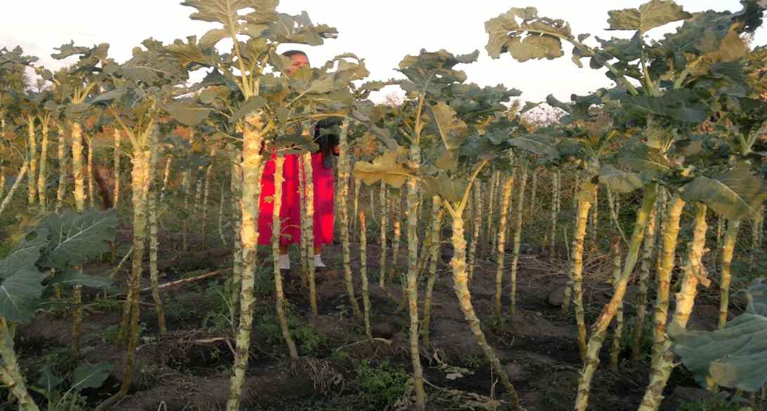 Figure       SEQ Figure \* ARABIC     4      : Vegetables under continual harvesting now over 1.6m height in Chiota