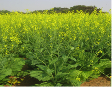 Figure 1: Brassica juncea (tsunga) in vegetative and flowering periods