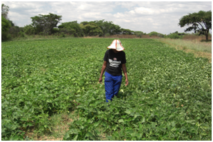 Sweet potato field in Mashonaland East, Zimbabwe