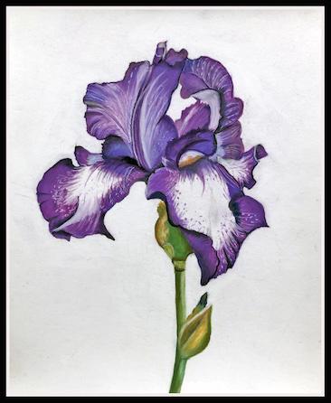 Bearded Iris. - Pastel pencil by Linda Todd.
