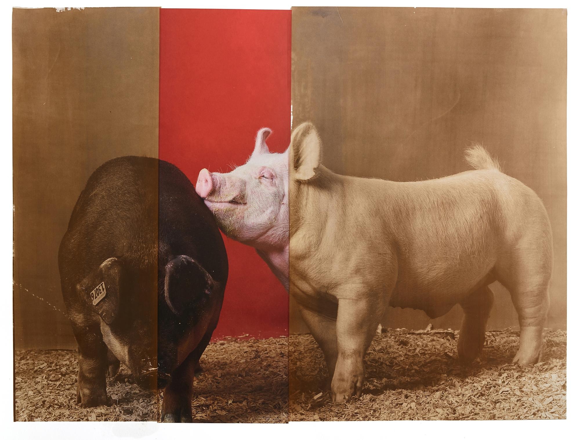 Supreme Champion Swine Male / Female Pair