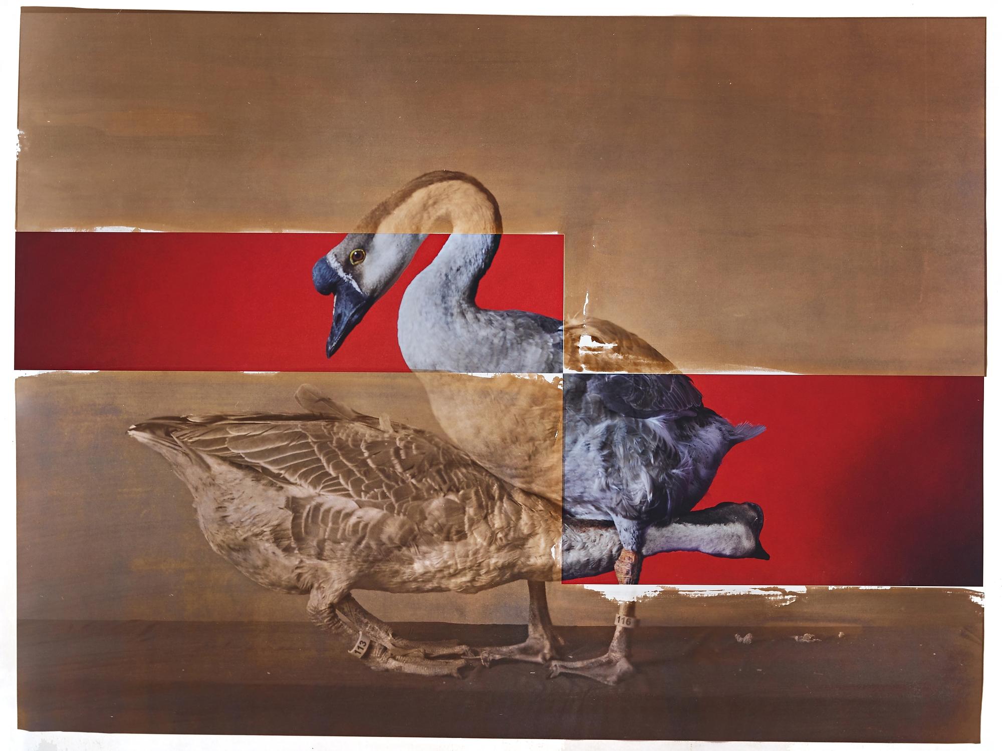 Supreme Champion Goose Male / Female Pair