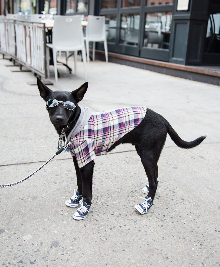 Dog street fashion. New York, NY