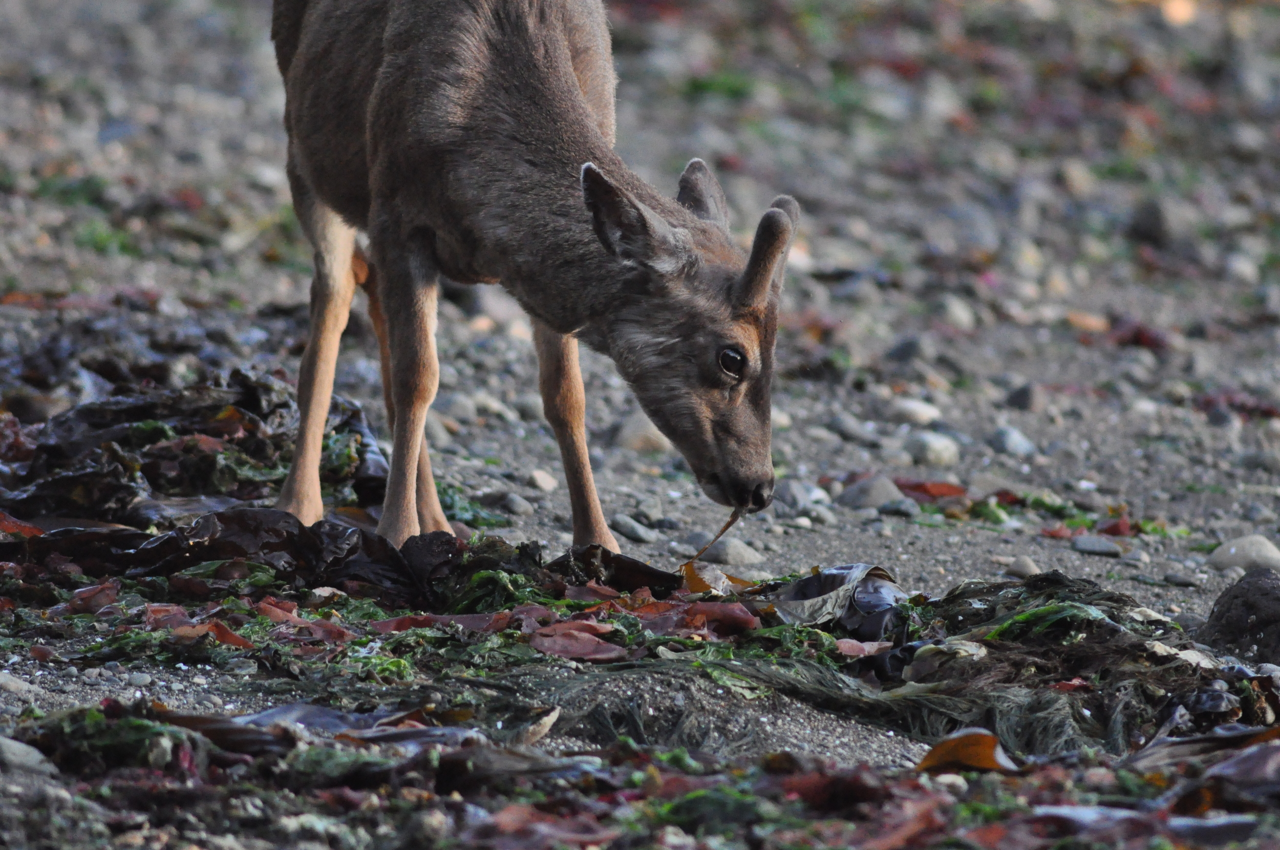 deer eating intertidal.JPG