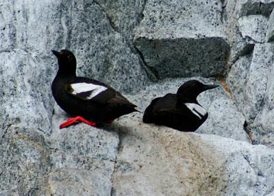 Pigeon-Guillemot---Doug-Bro.jpg