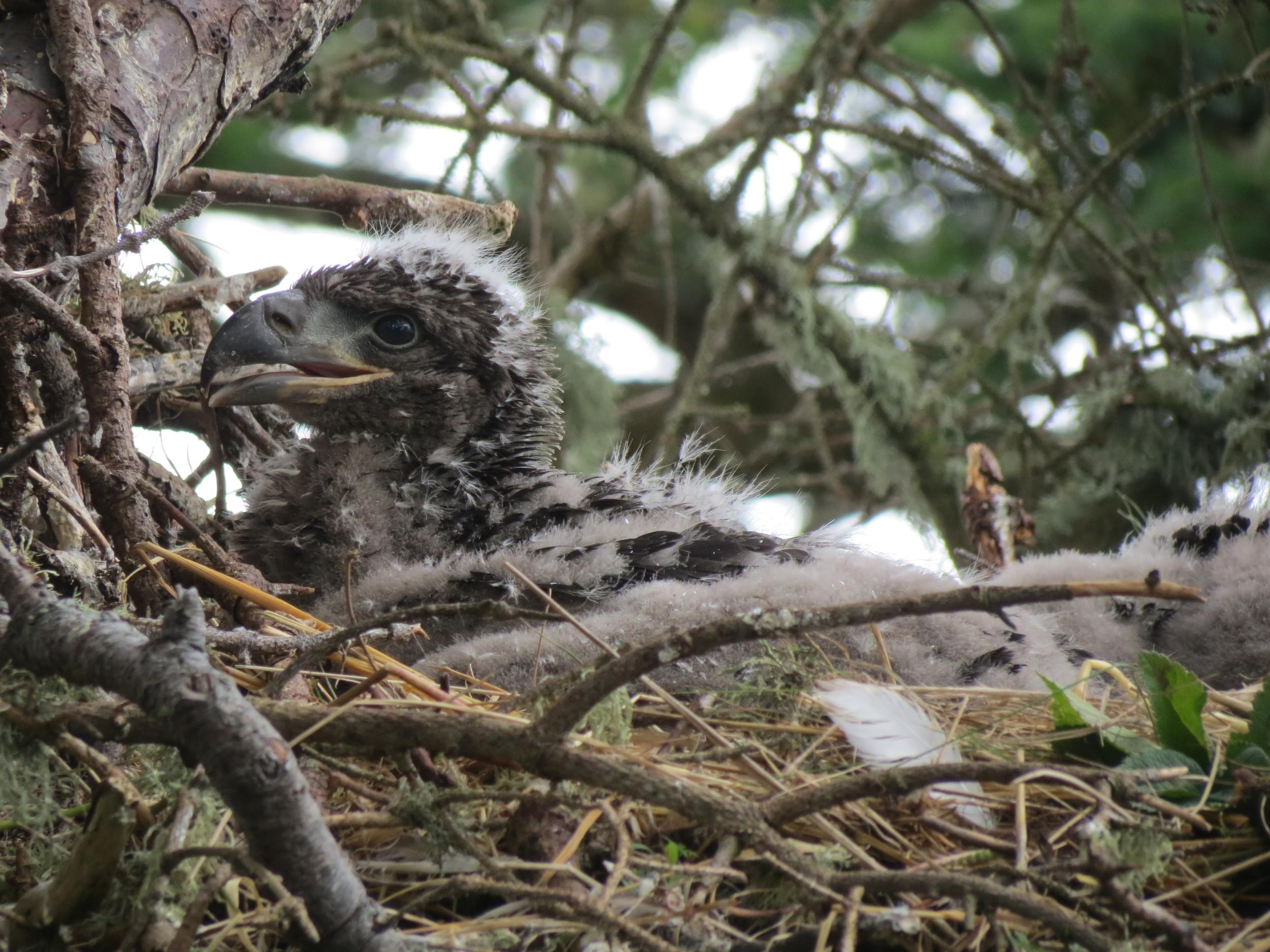 Bald Eagle chick.JPG