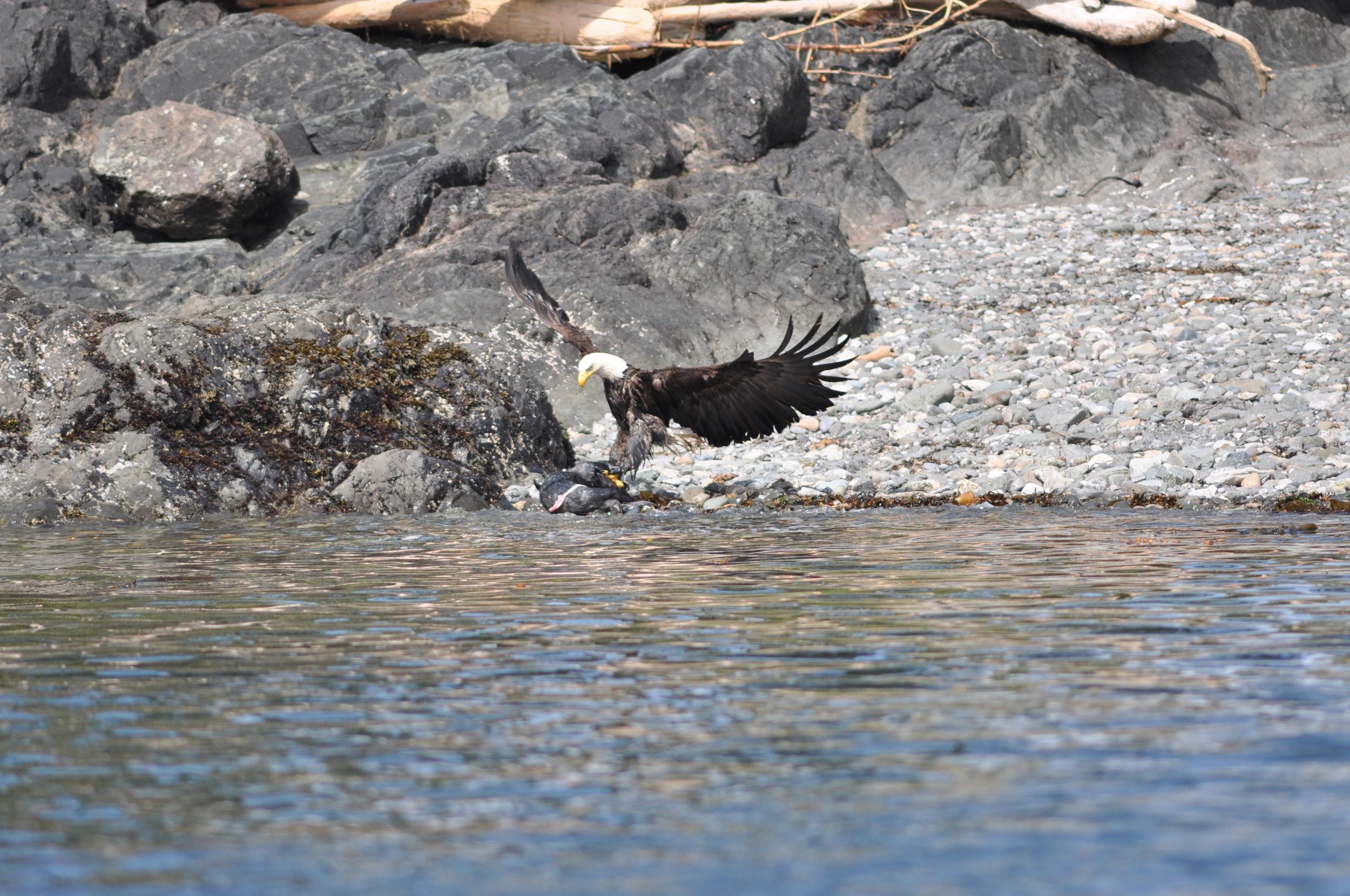 bald Eagle and seal.JPG