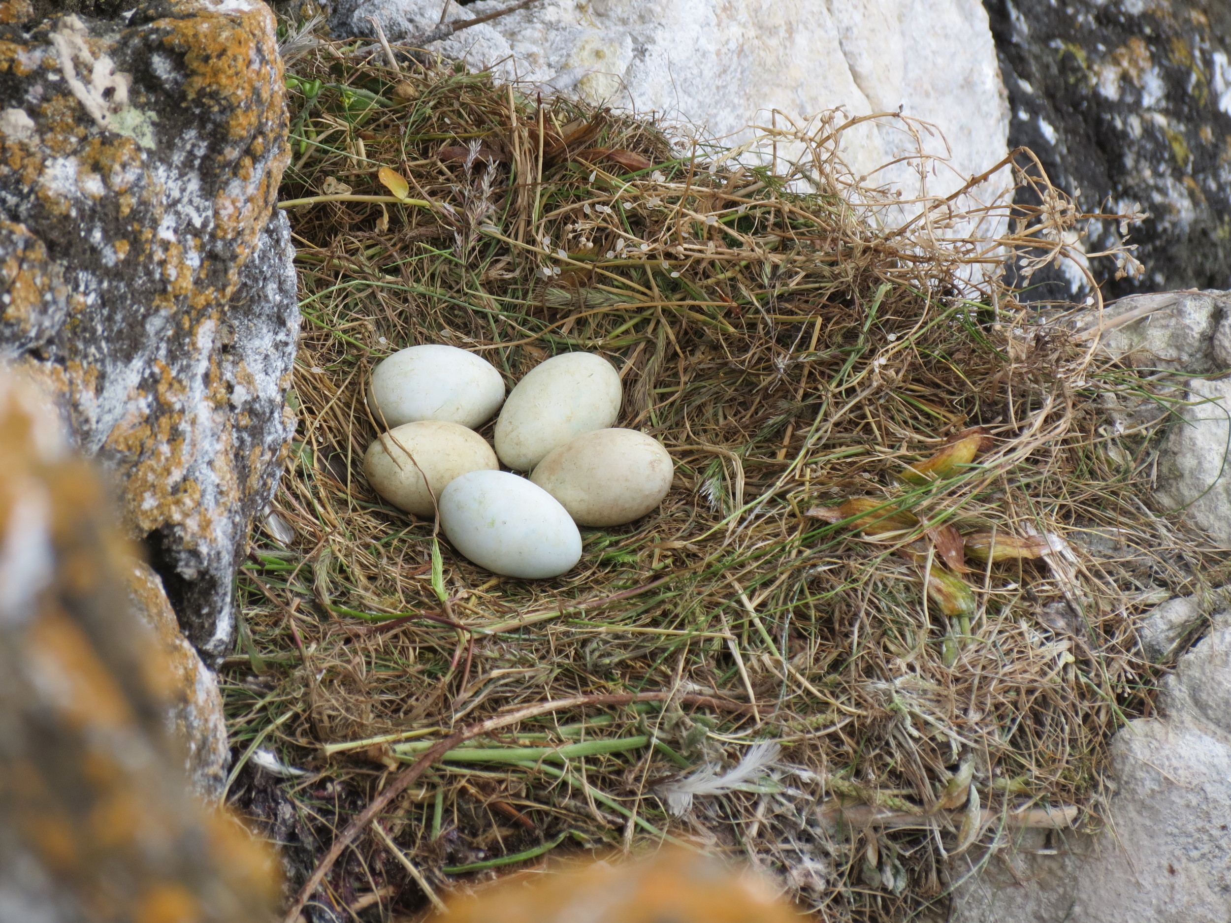 Pelagic Cormorant Nest - with eggs Lost Island.JPG