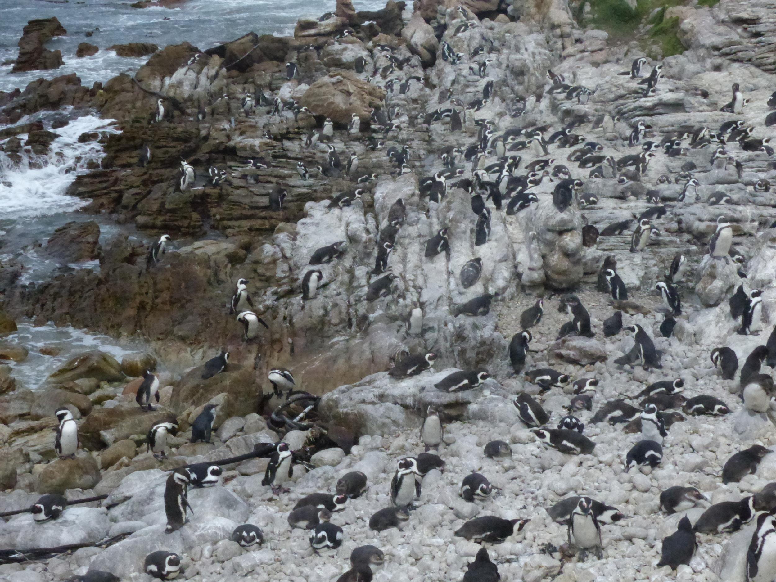 African Penguins Bettysbaie.jpg