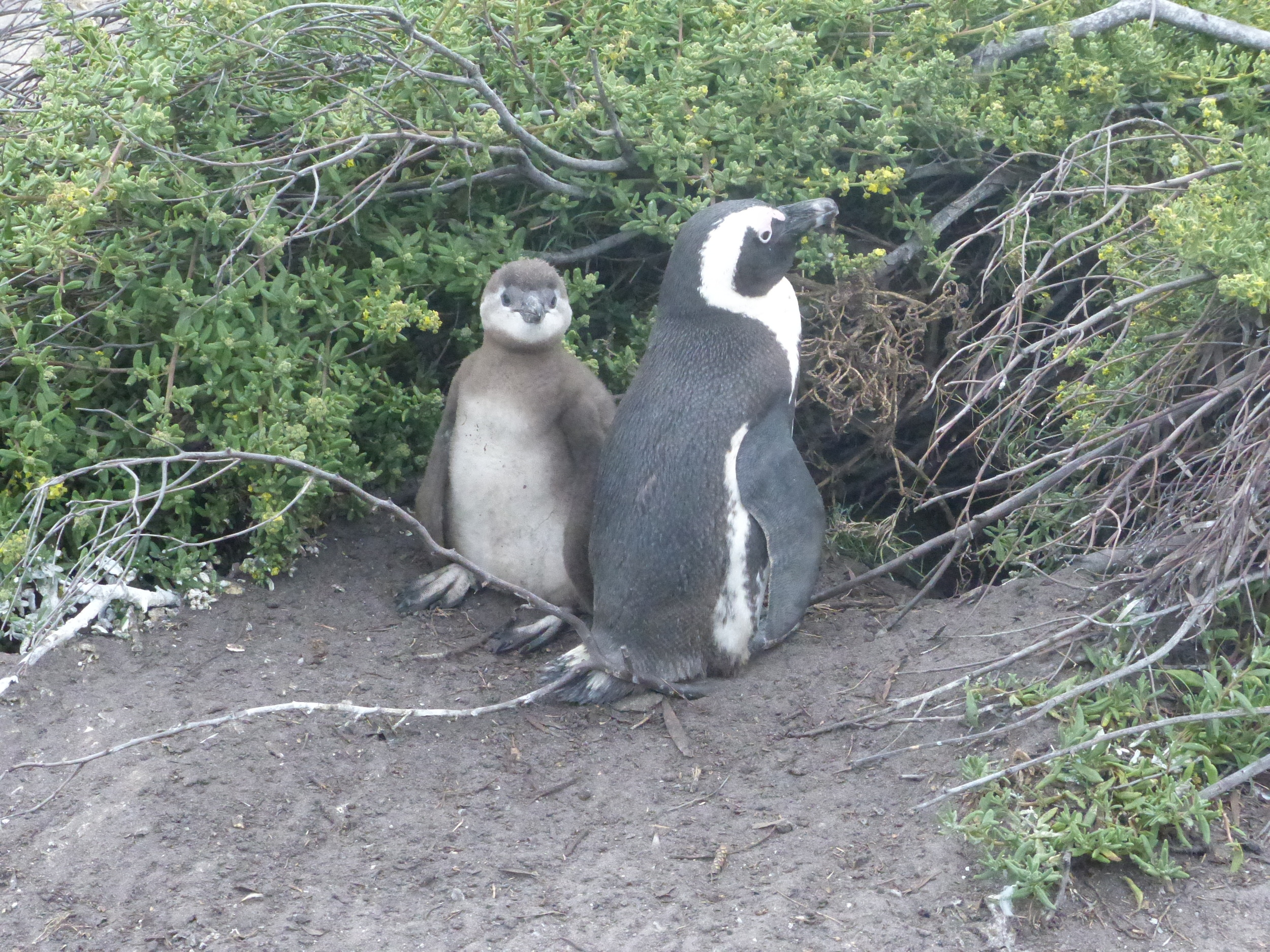 Penguin and chick at burrow.jpg