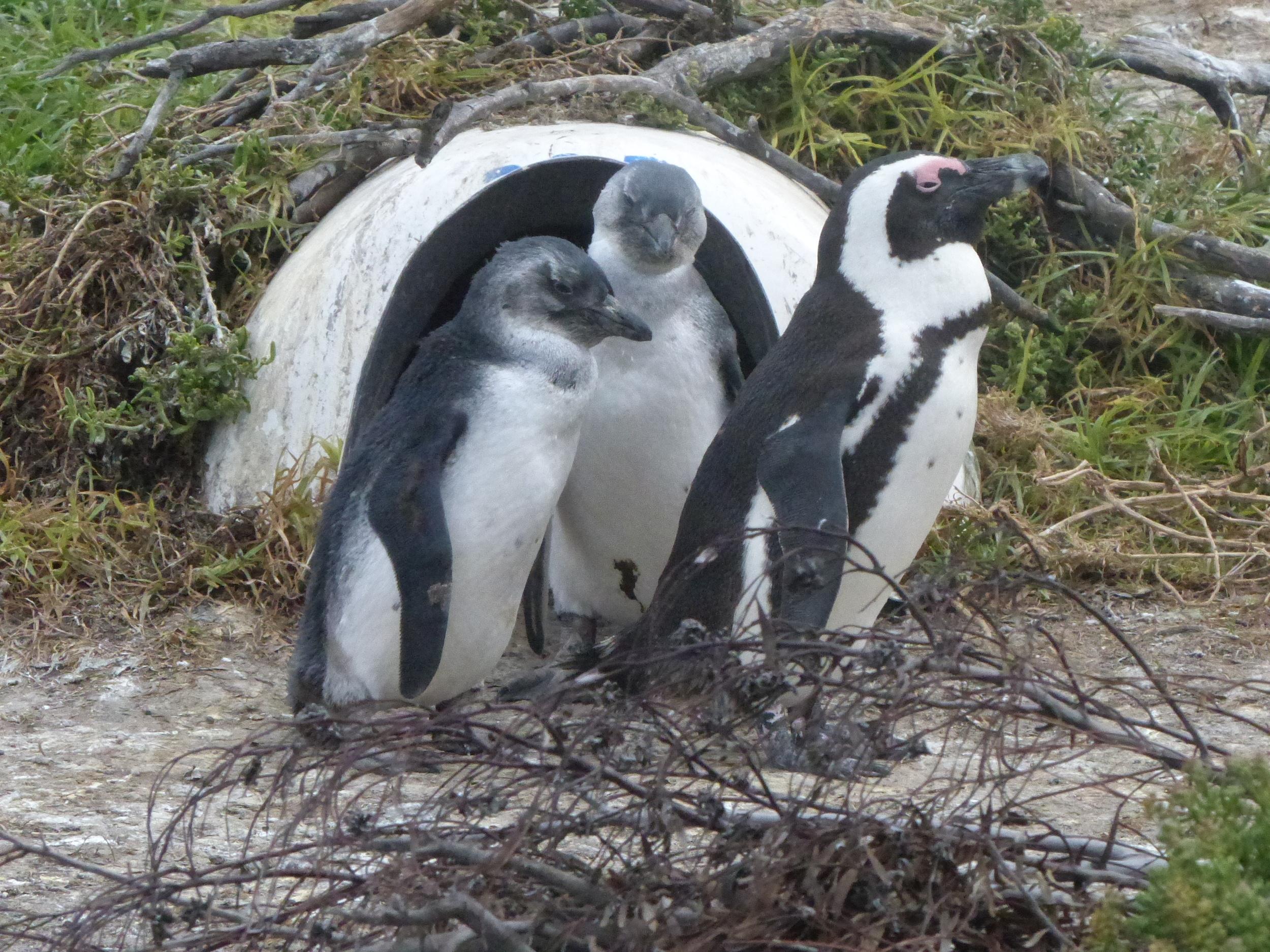 Penguin 2 chicks and artificial burrow.JPG