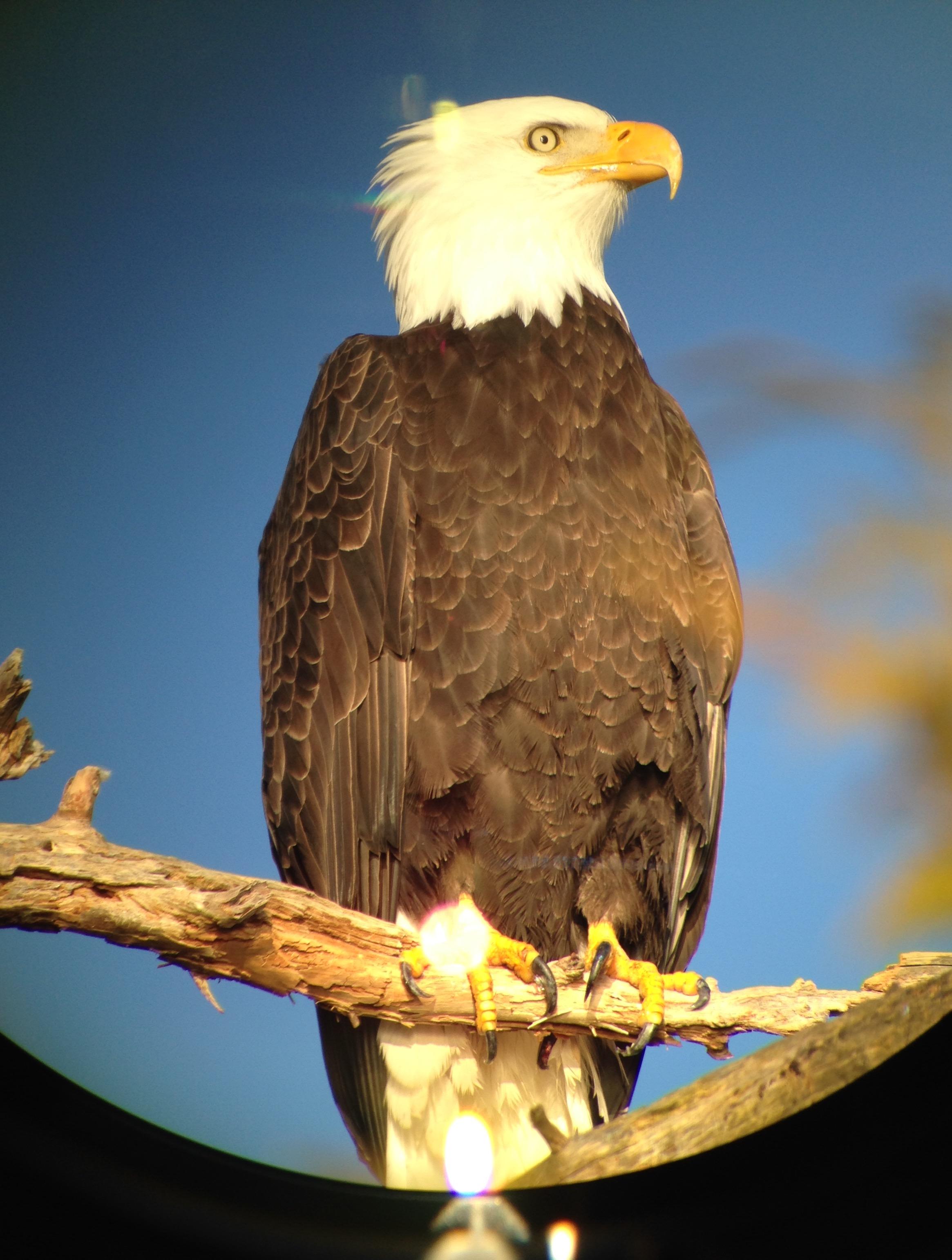 Bald Eagle / Guud through the Scope