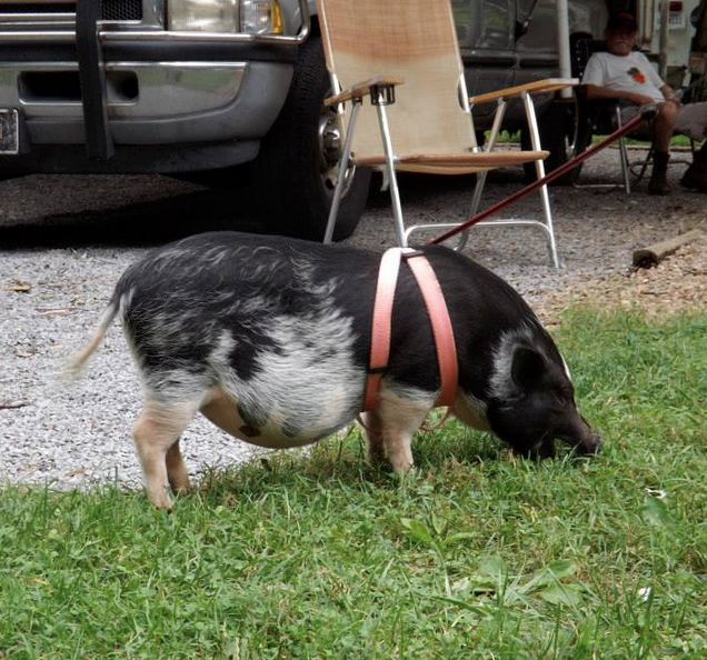 Pet pig on a leash came to visit